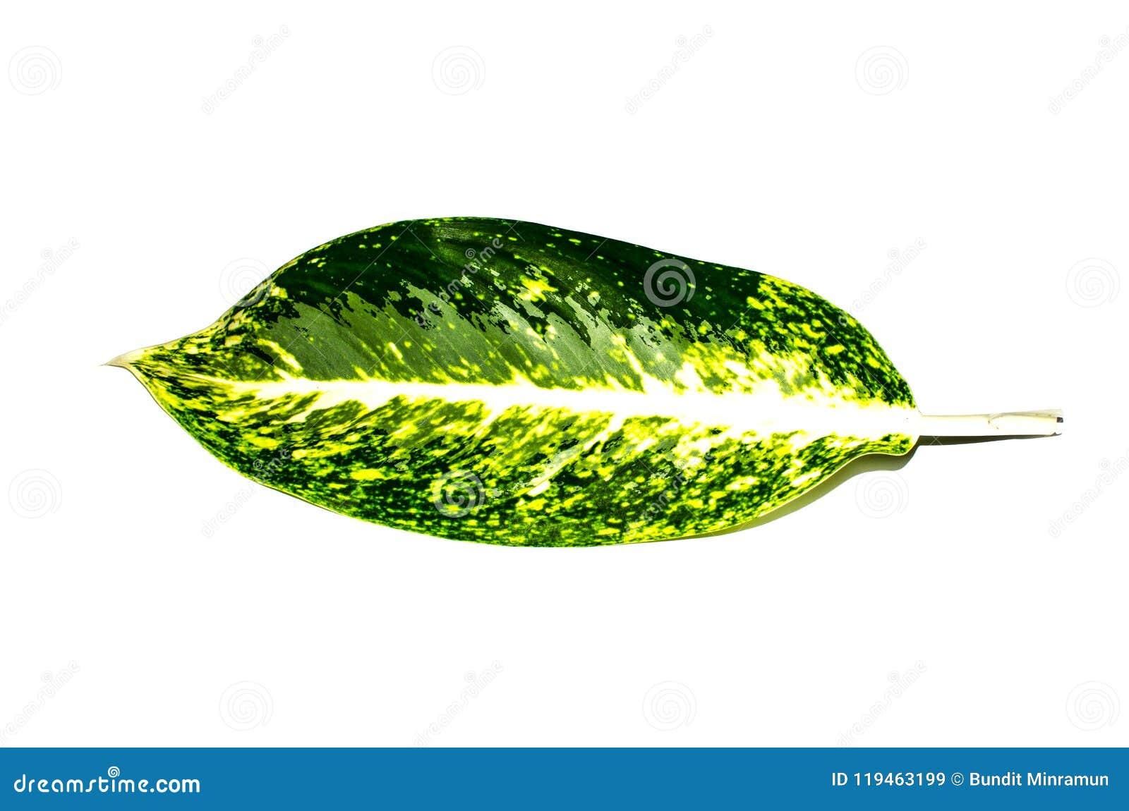 Plantas florecientes tropicales hoja verde hermosa del Dieffenbachia de la sola en el Araceae de la familia aislado en el fondo b