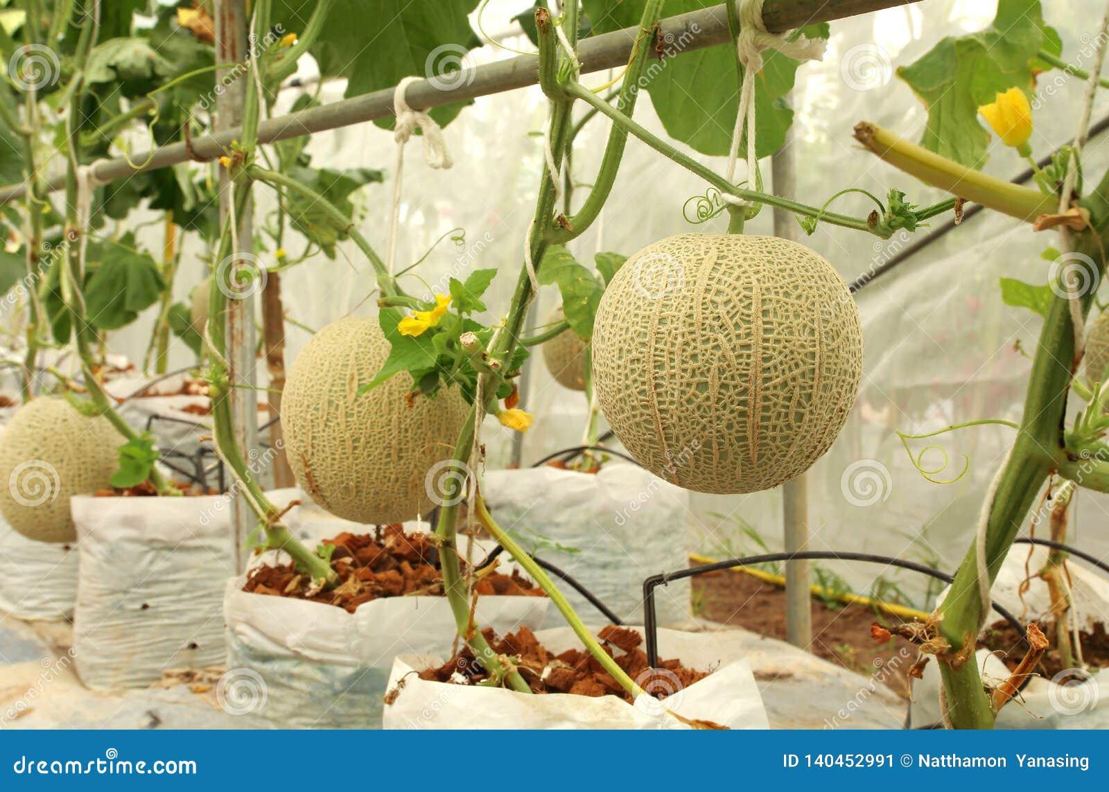 Plantas frescas de los melones del cantalupo que crecen en la granja del invernadero