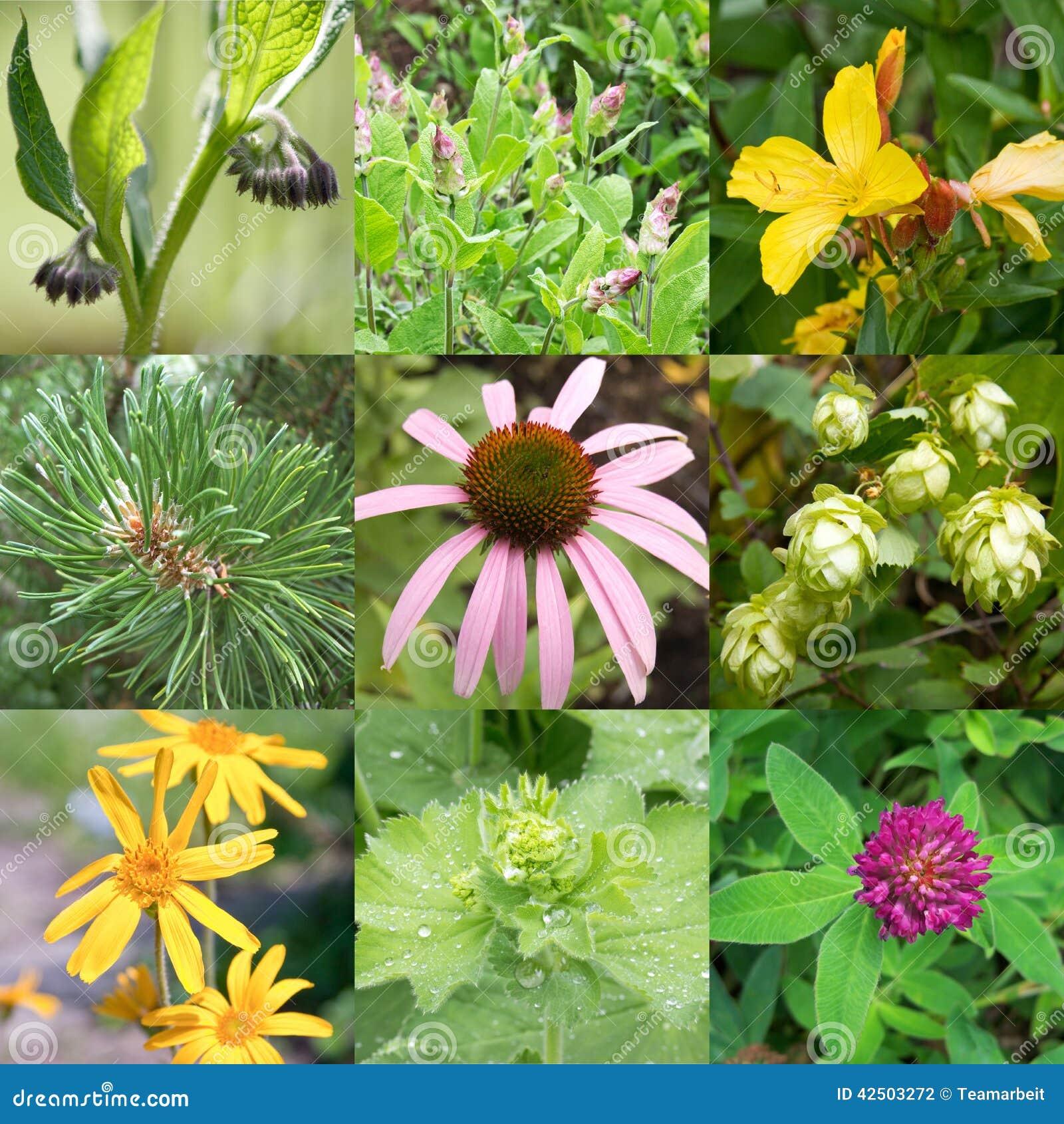 Plantas medicinales foto de archivo imagen 42503272 for Tipos de hierbas medicinales