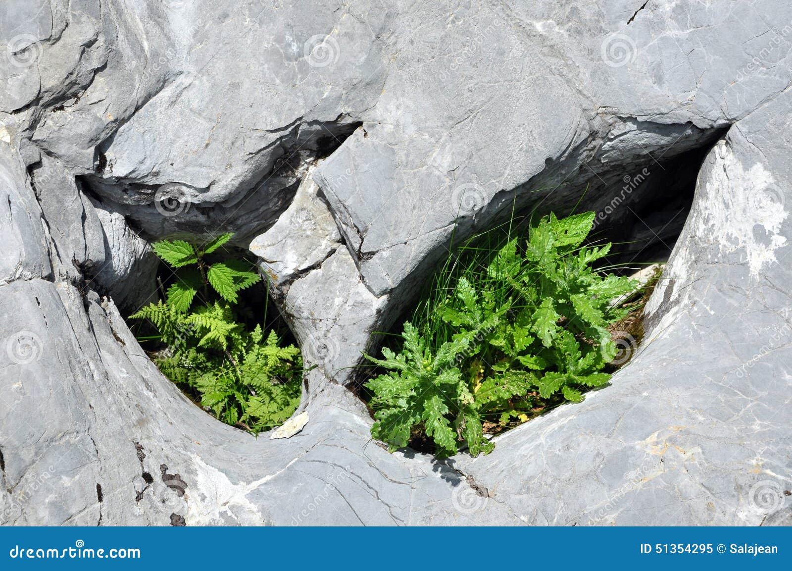 Plantas no furo da pedra calcária