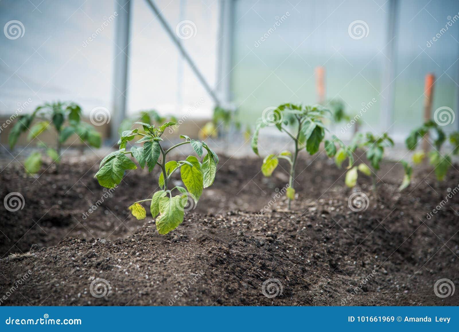 Plantas novas que crescem em uma estufa
