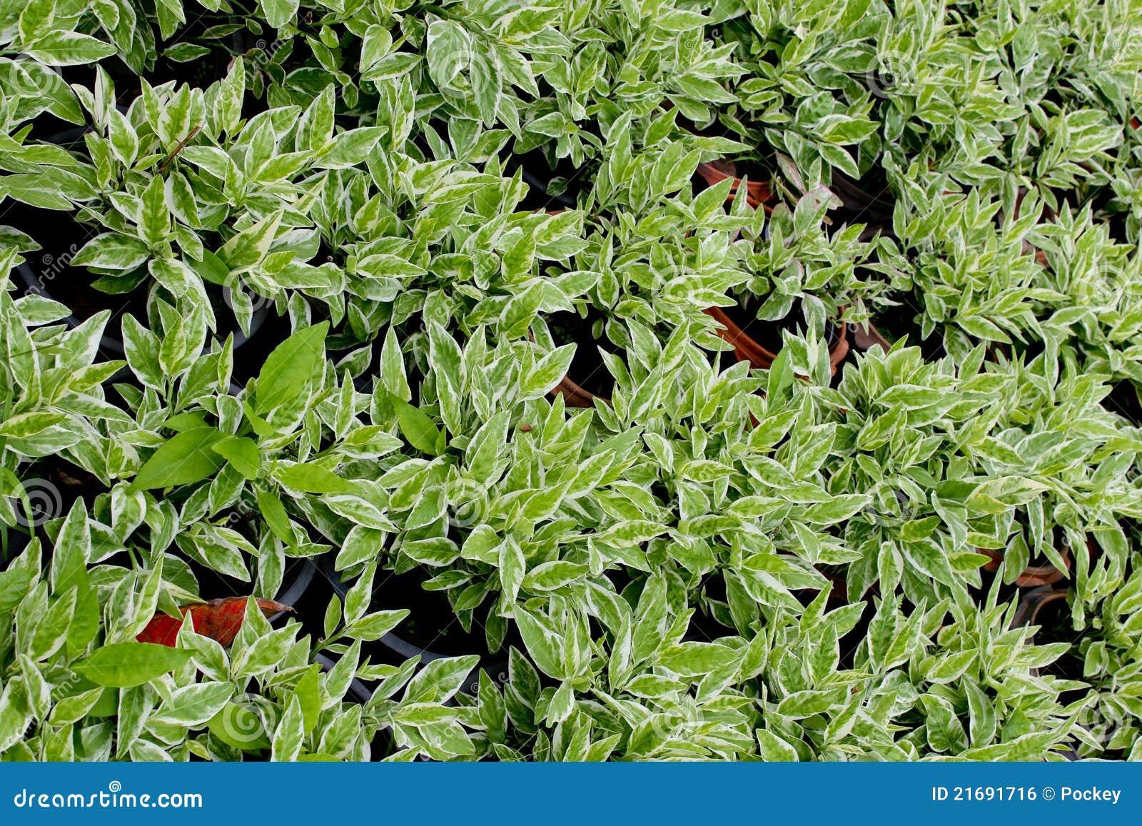 Plantas ornamentales imagen de archivo libre de regal as for Diseno de plantas ornamentales