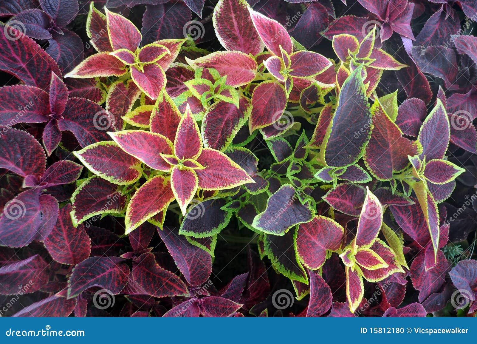 Plantas ornamentales del primer foto de archivo imagen for Tipos de hojas ornamentales