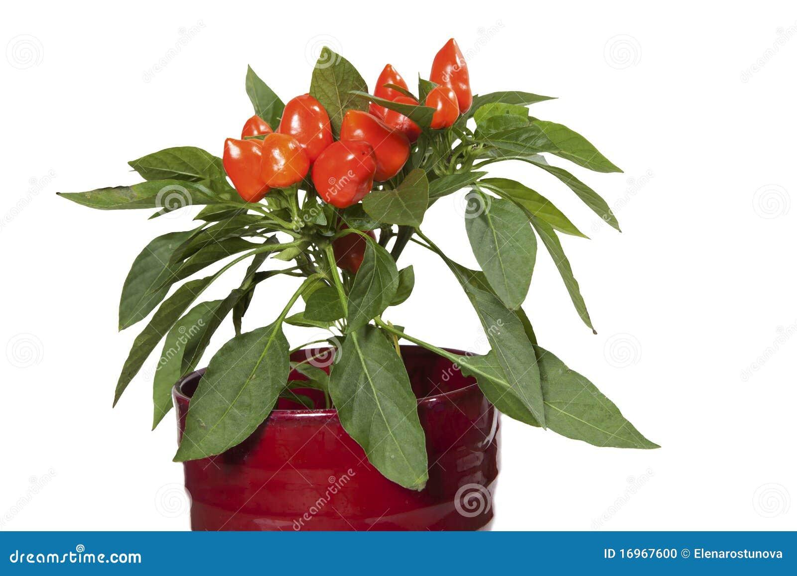 Plantas ornamentales rojas del pimiento foto de archivo for Concepto de plantas ornamentales