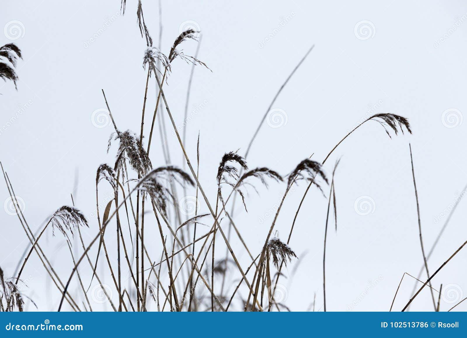 Plantas Secas En Invierno Foto De Archivo Imagen De Decoracion - Plantas-secas-decoracion