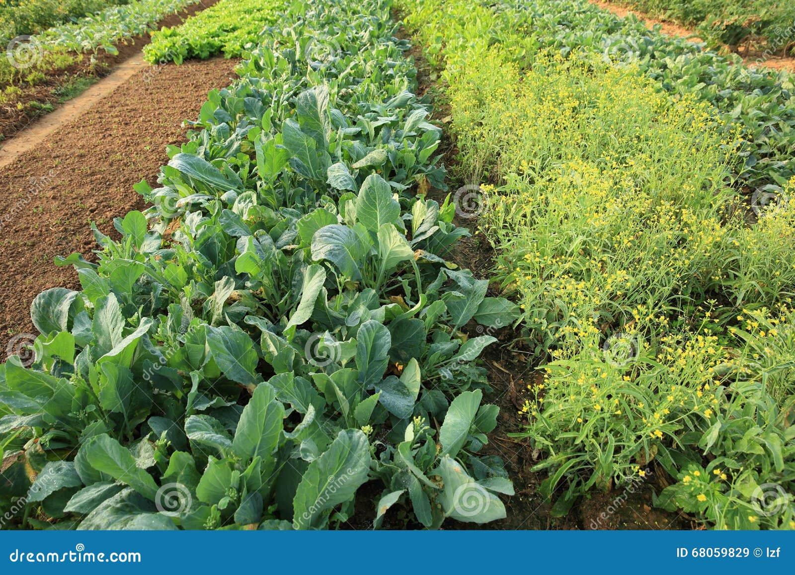 Plantas vegetales de la variedad en el huerto imagen de for Plantas beneficiosas para el huerto