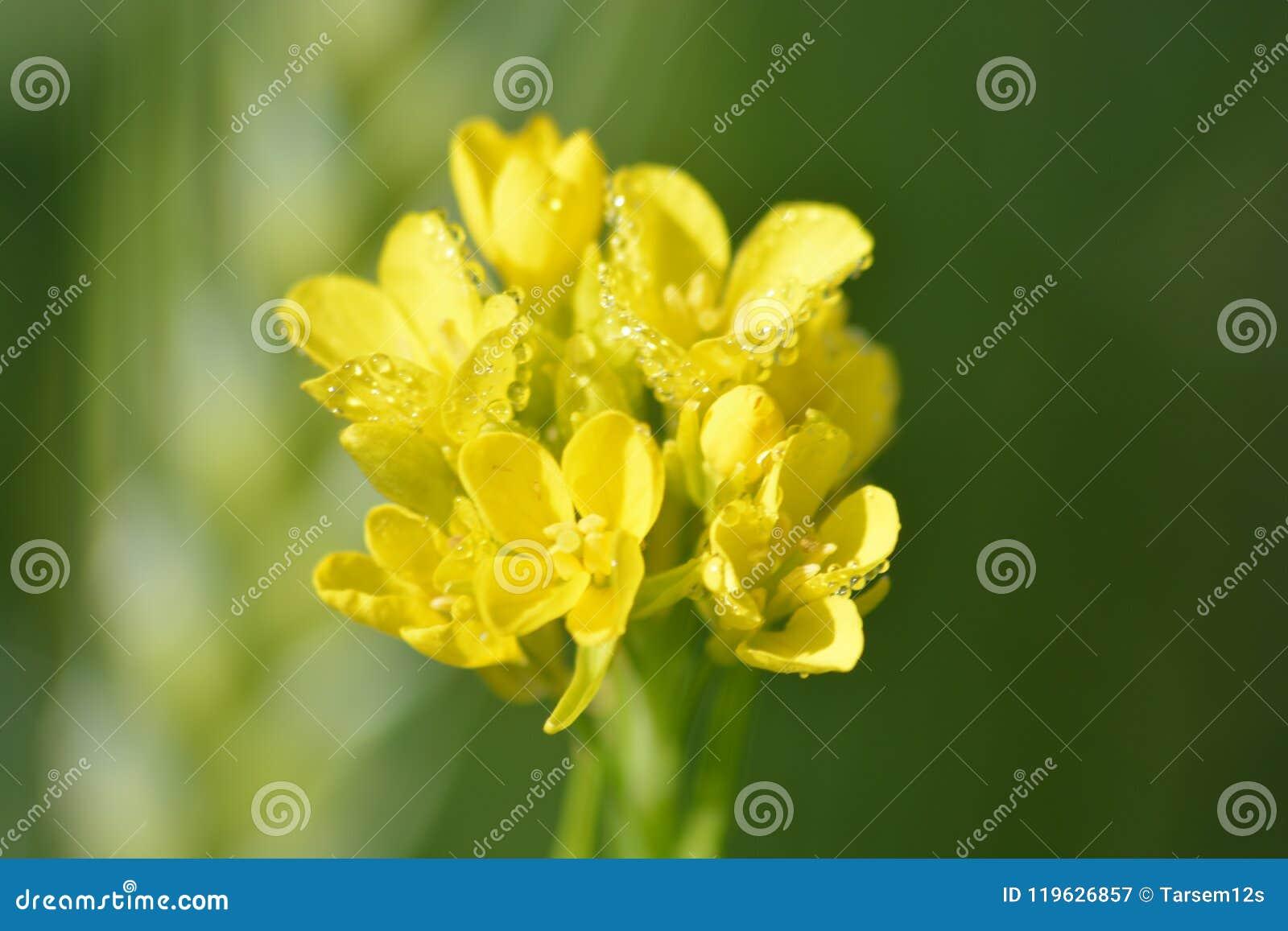 Plantas verdes de la mostaza con sus flores amarillas