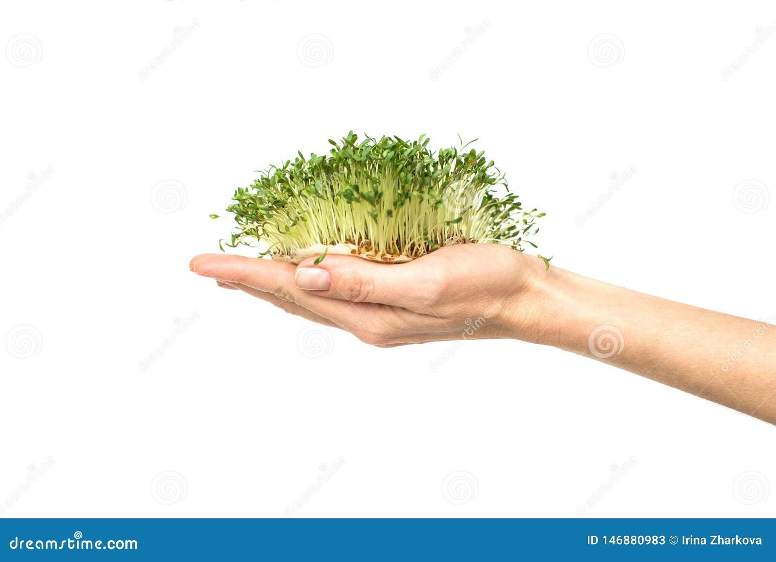 Plantas verdes a disposición, semillas germinadas de la lechuga del berro en la palma en un blanco