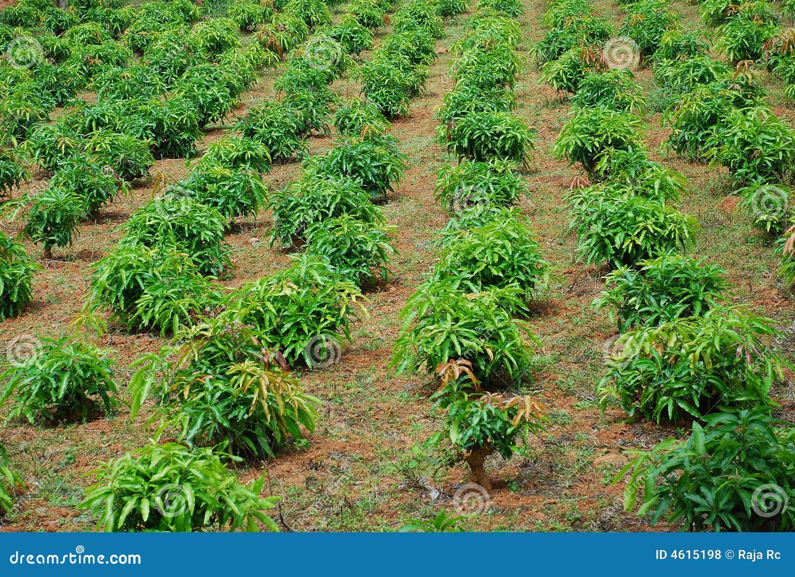 Plantation stock photo. Image of fruits, mango, bags ...