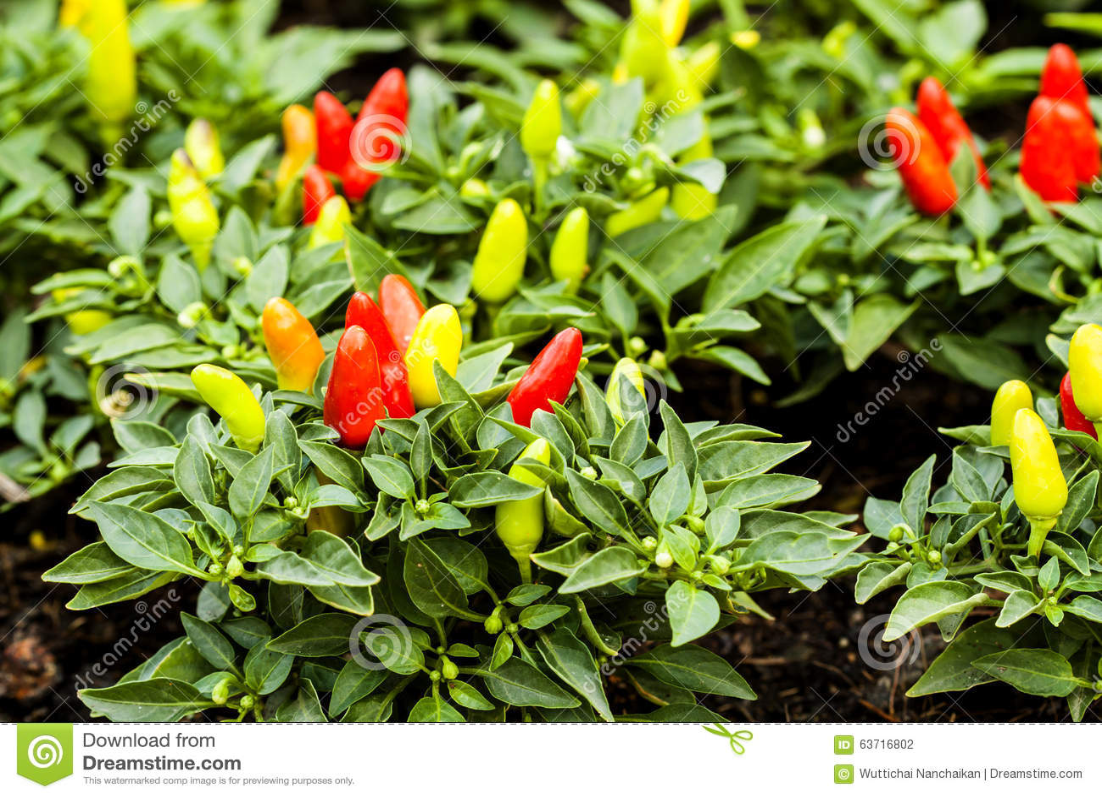 Image gallery piment plantation for Entretien poivron jardin