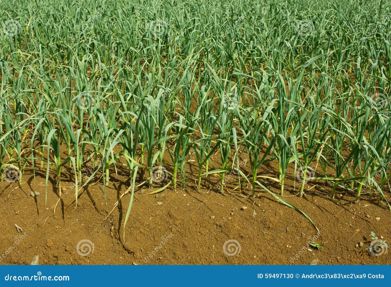 Plantation D'ail Photo stock - Image: 59497130