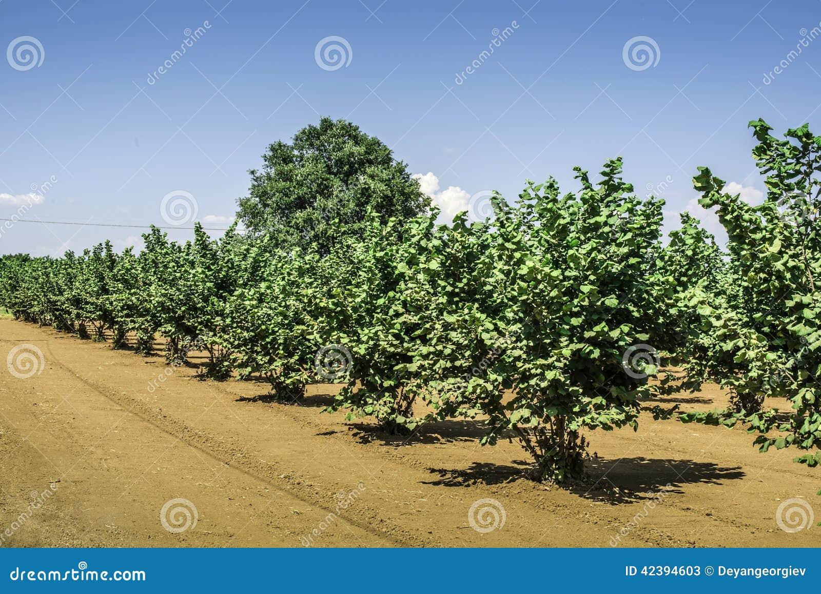 Plantation d 39 arbre noisette photo stock image 42394603 - Plantation d arbres synonyme ...