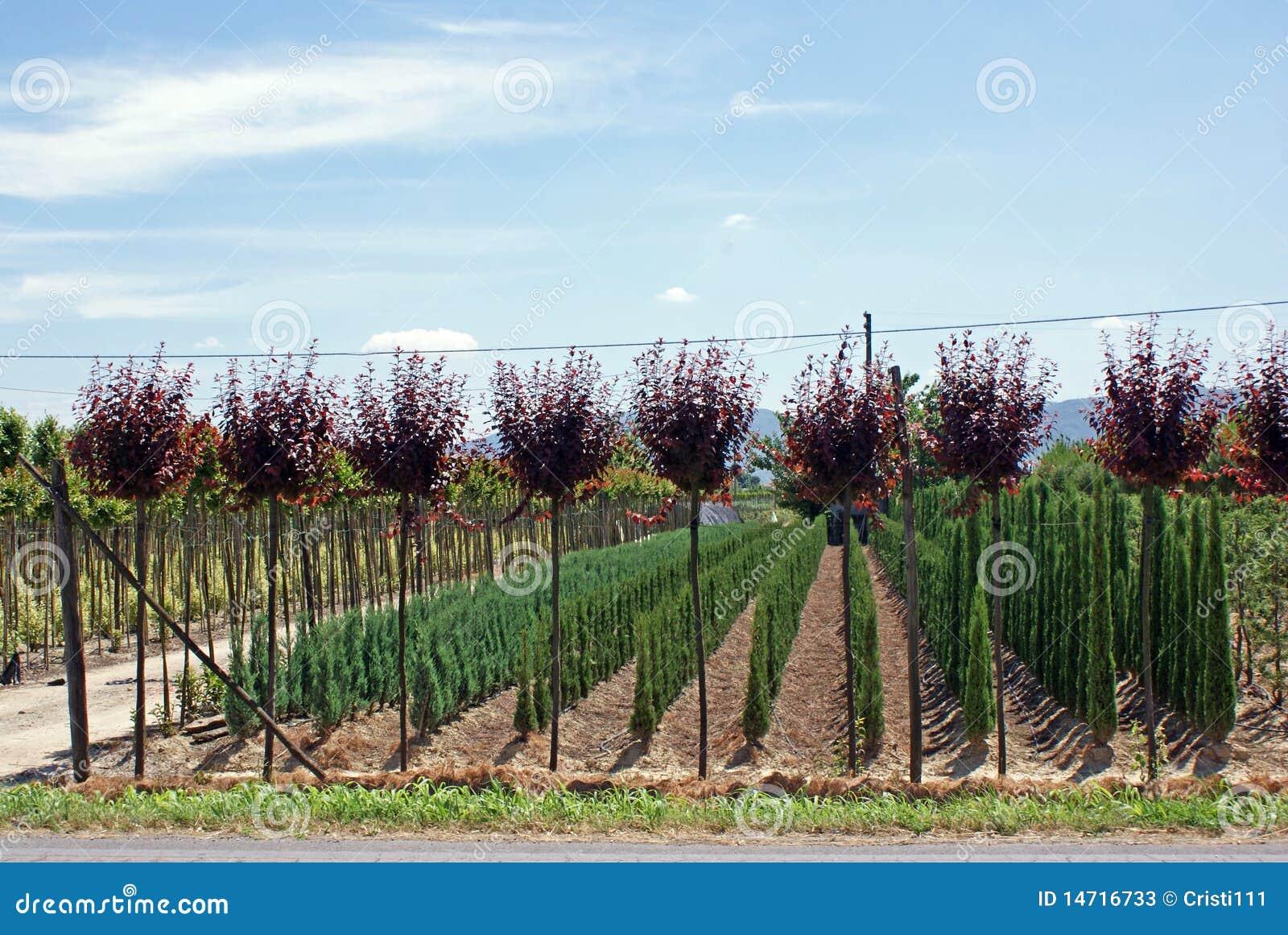 Plantation d 39 arbres photos stock image 14716733 - Plantation d arbres synonyme ...