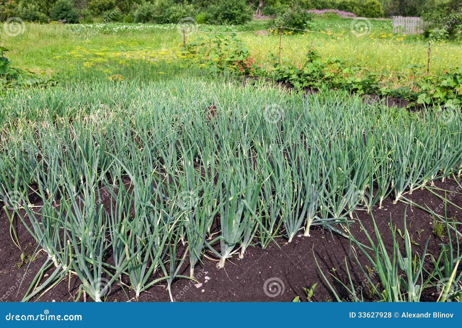 Comment Cultiver Les Oignons planter des oignons avec la lune – leavepull.live