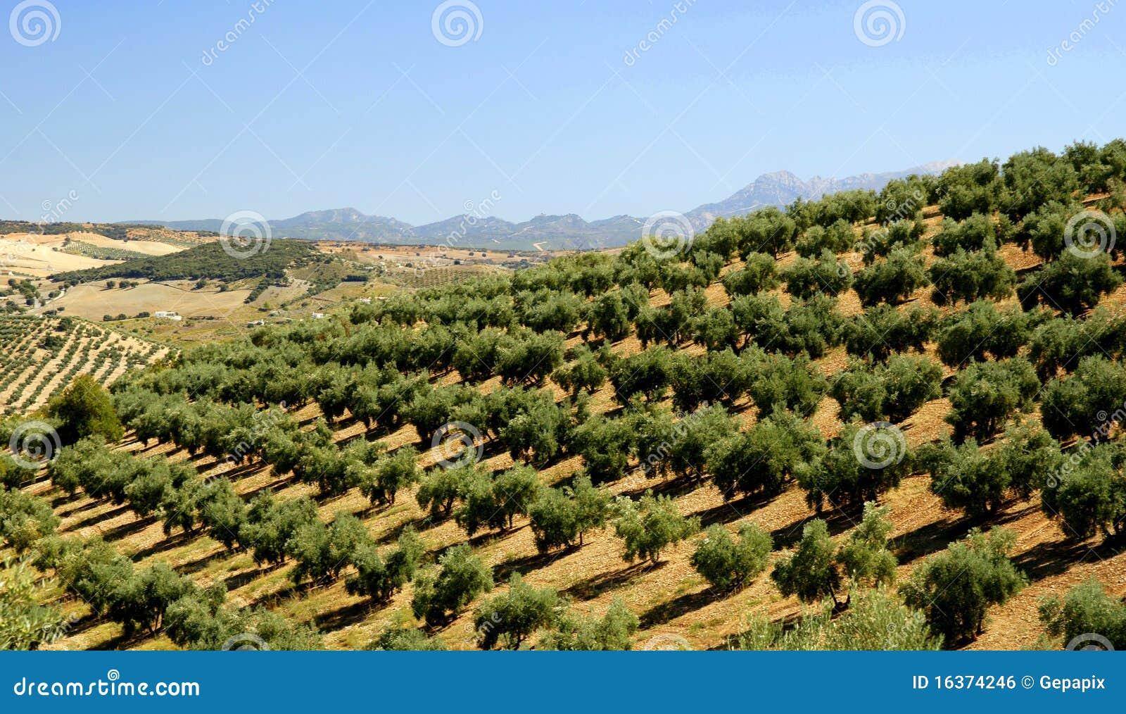 plantation d 39 olivier photo stock image du arbres l gume 16374246. Black Bedroom Furniture Sets. Home Design Ideas