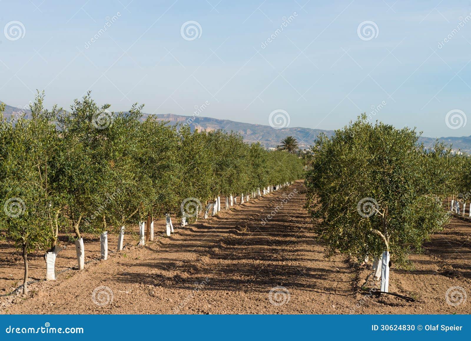 Plantation d\'olivier photo stock. Image du pépinière - 30624830