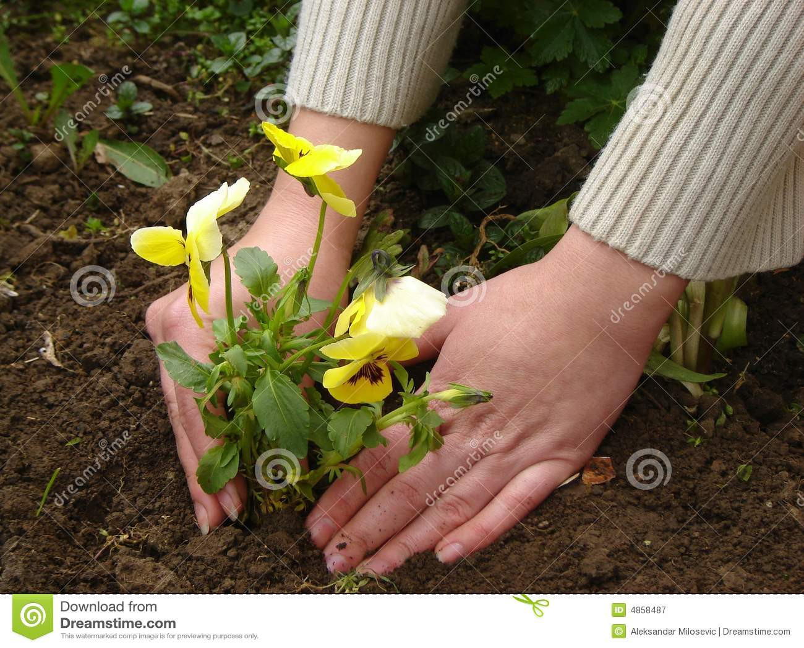 plantation d 39 une fleur photographie stock libre de droits