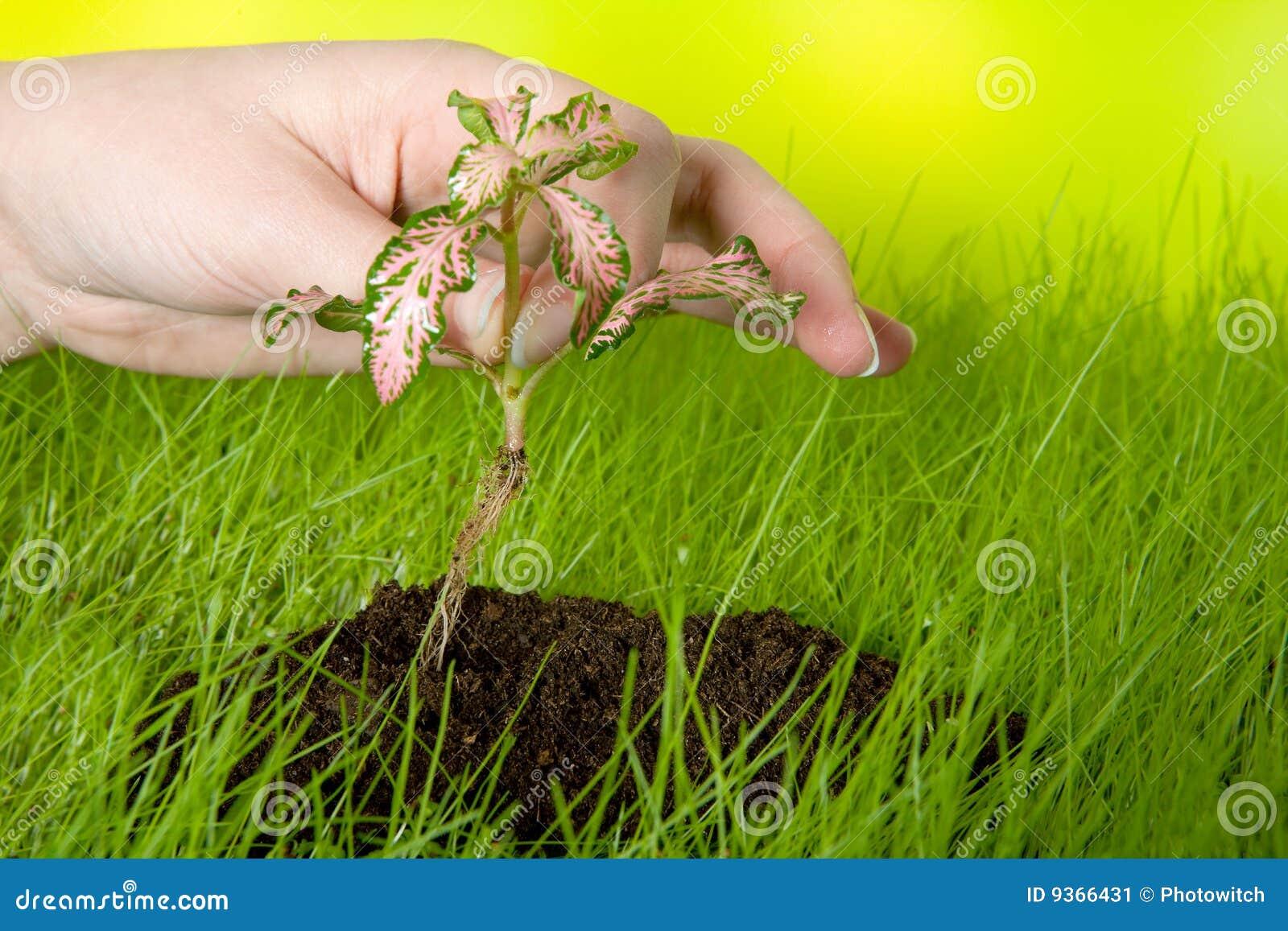 Plantation d 39 une plante image stock image 9366431 for Plante 5 doigts bahamas