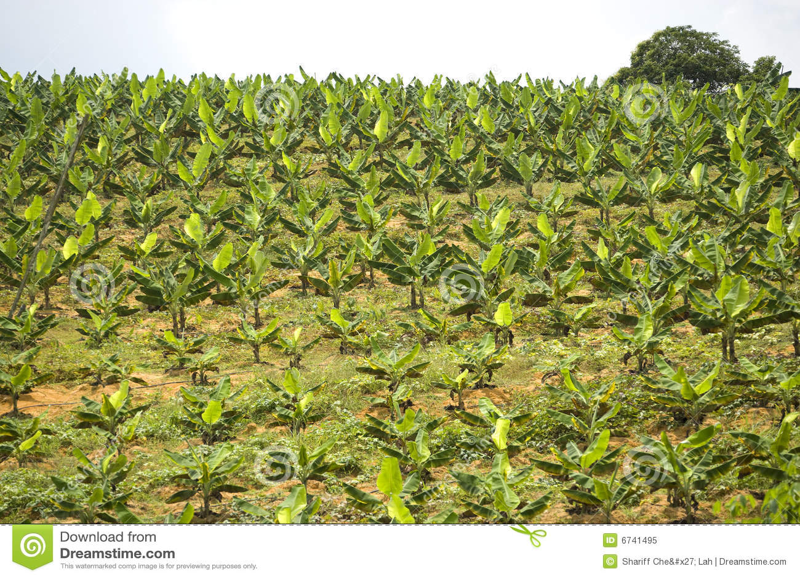 Plantation de banane