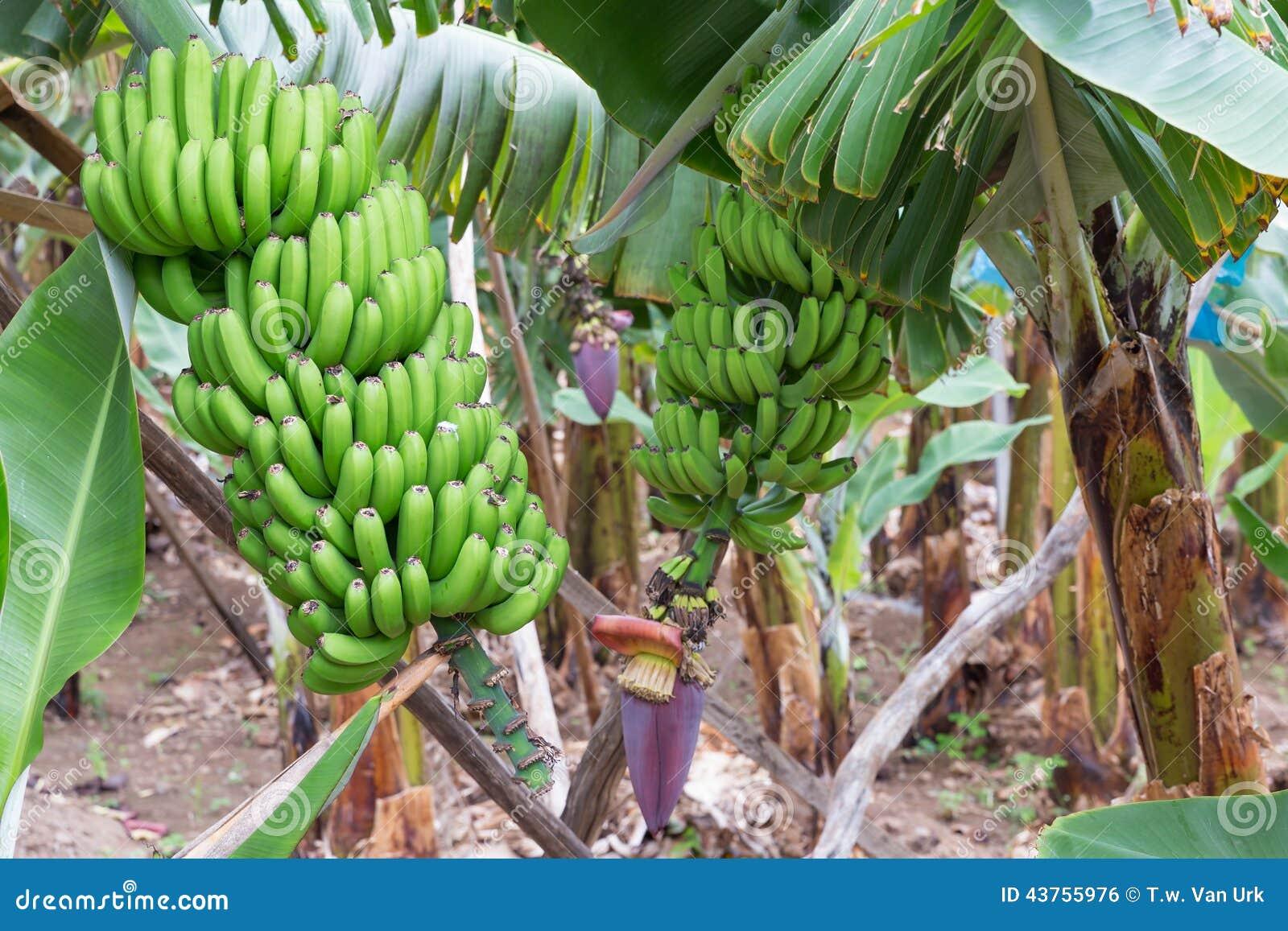 plantation de banane l 39 le de la mad re photo stock image 43755976. Black Bedroom Furniture Sets. Home Design Ideas