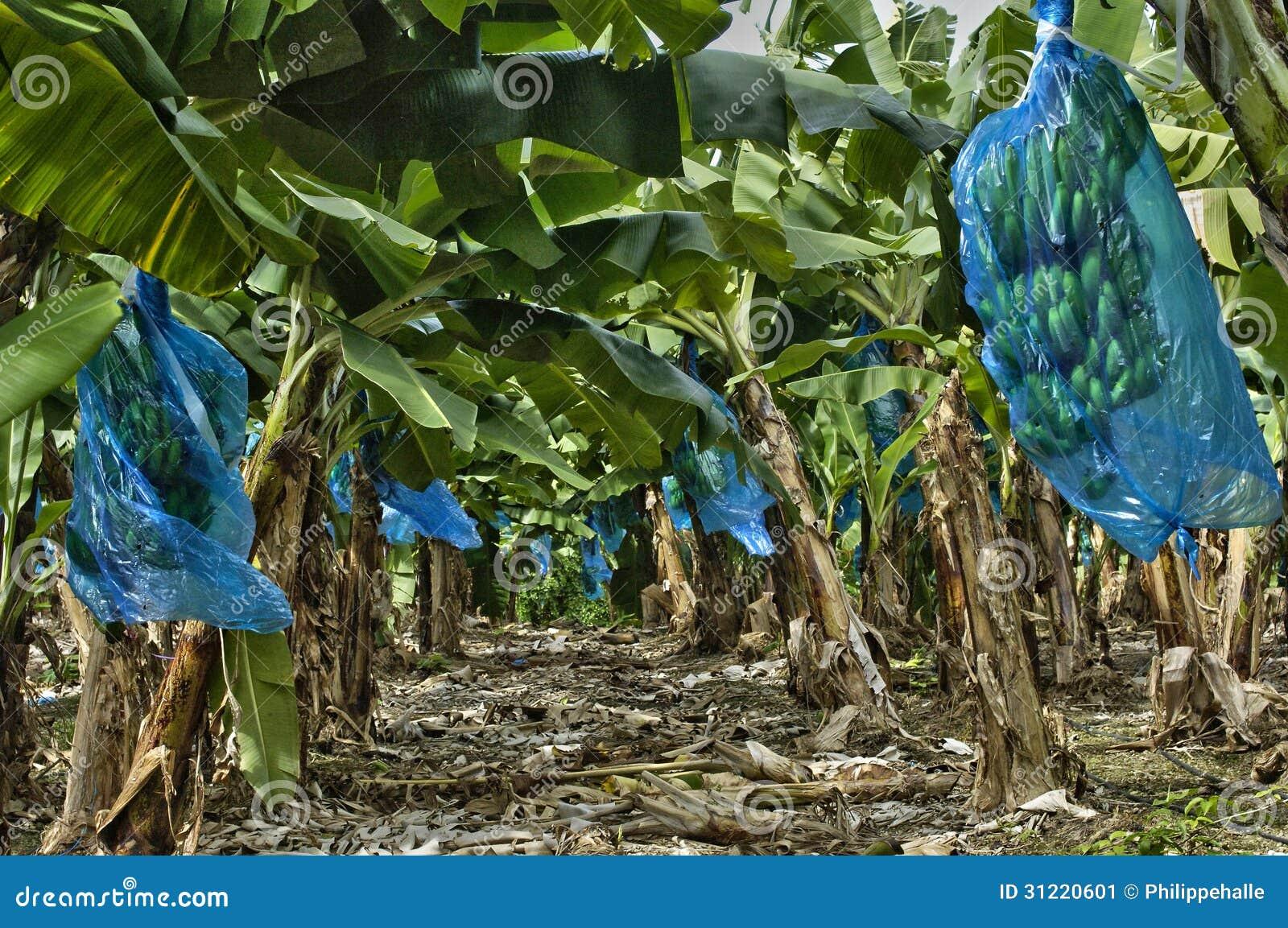 plantation de banane martinique image stock image du outside touristique 31220601. Black Bedroom Furniture Sets. Home Design Ideas