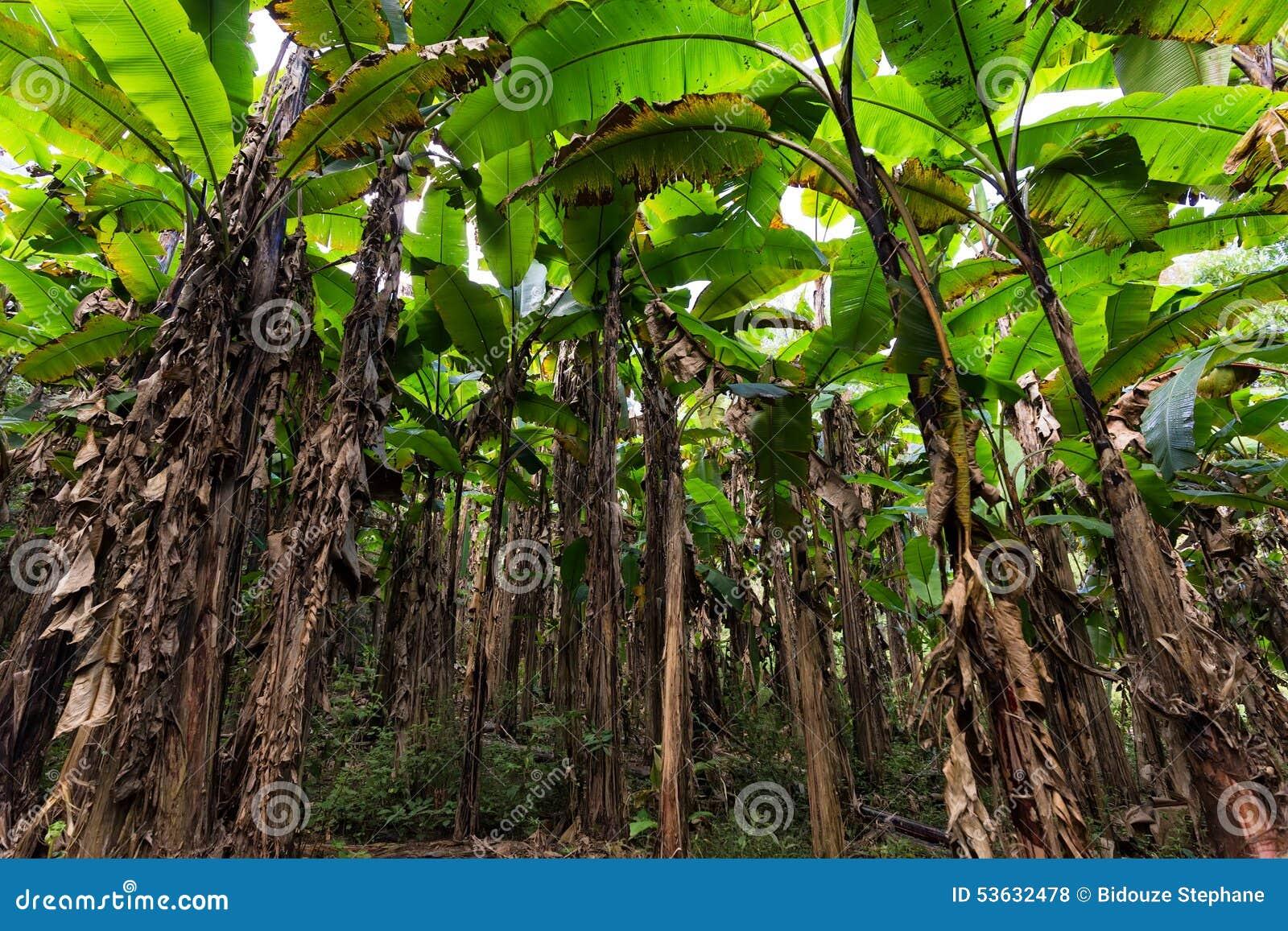 plantation de bananier photo stock image 53632478. Black Bedroom Furniture Sets. Home Design Ideas