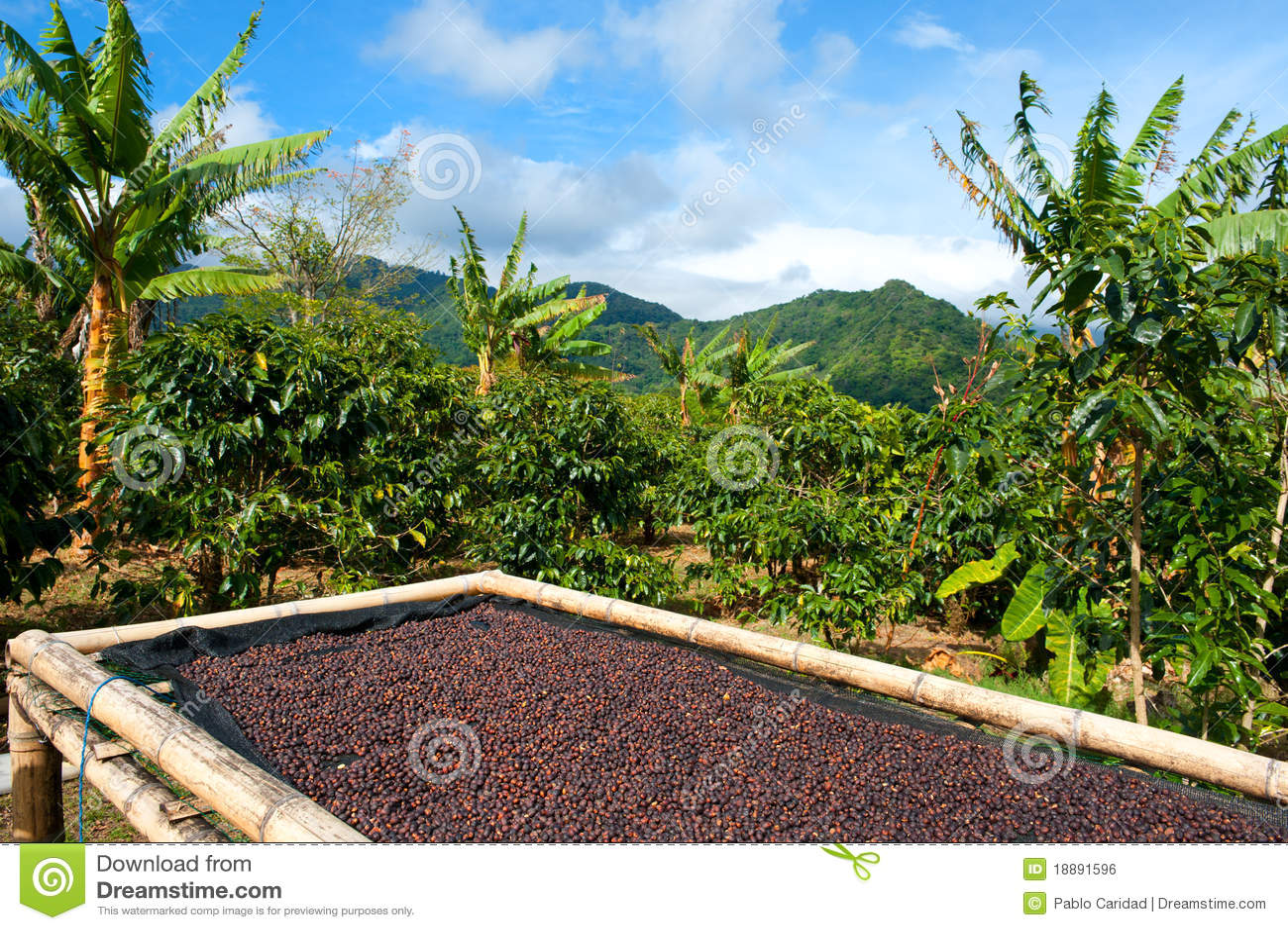 Plantation de café au Panama, Amérique Centrale.