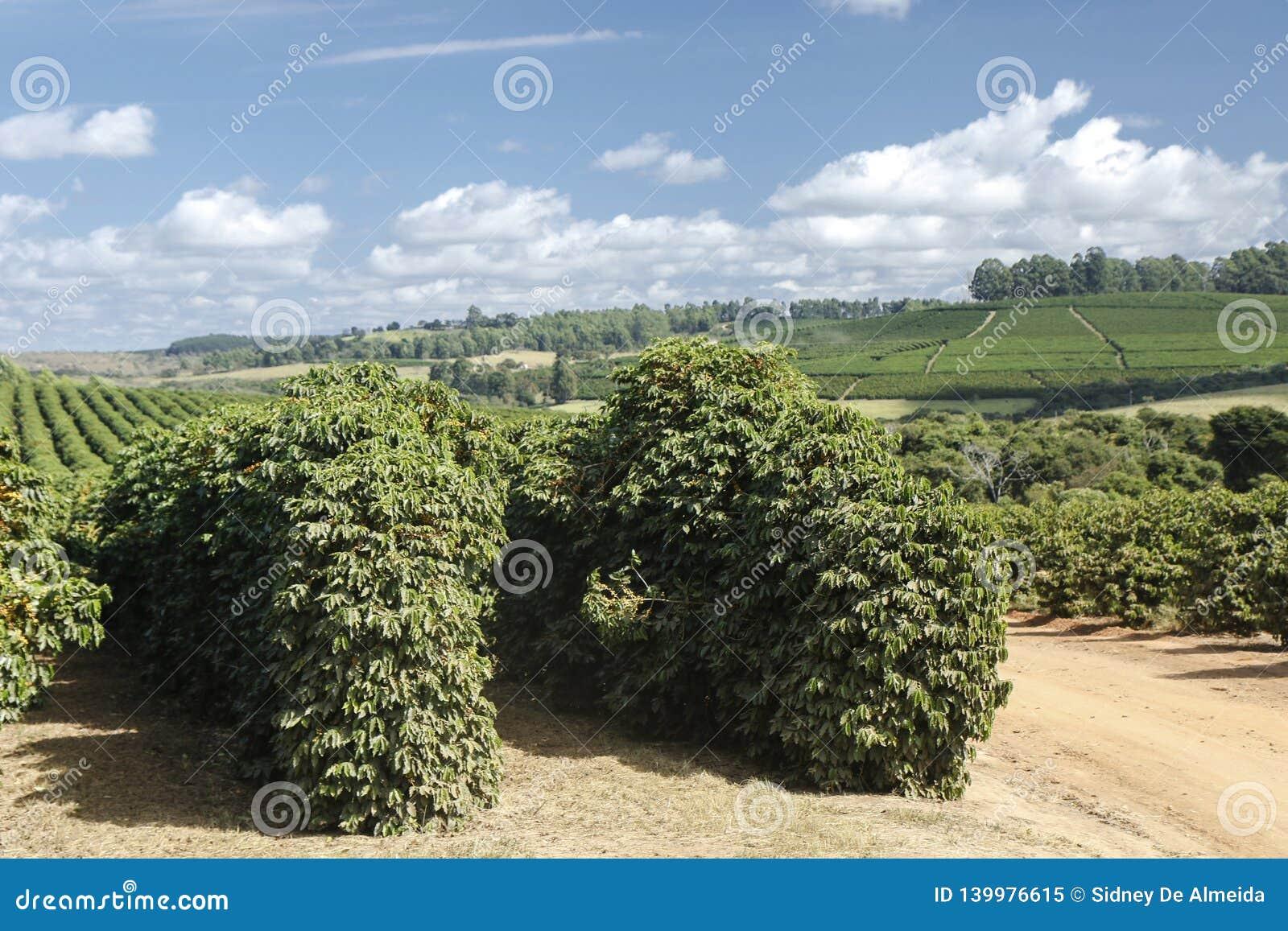 Plantation de café de ferme au Brésil