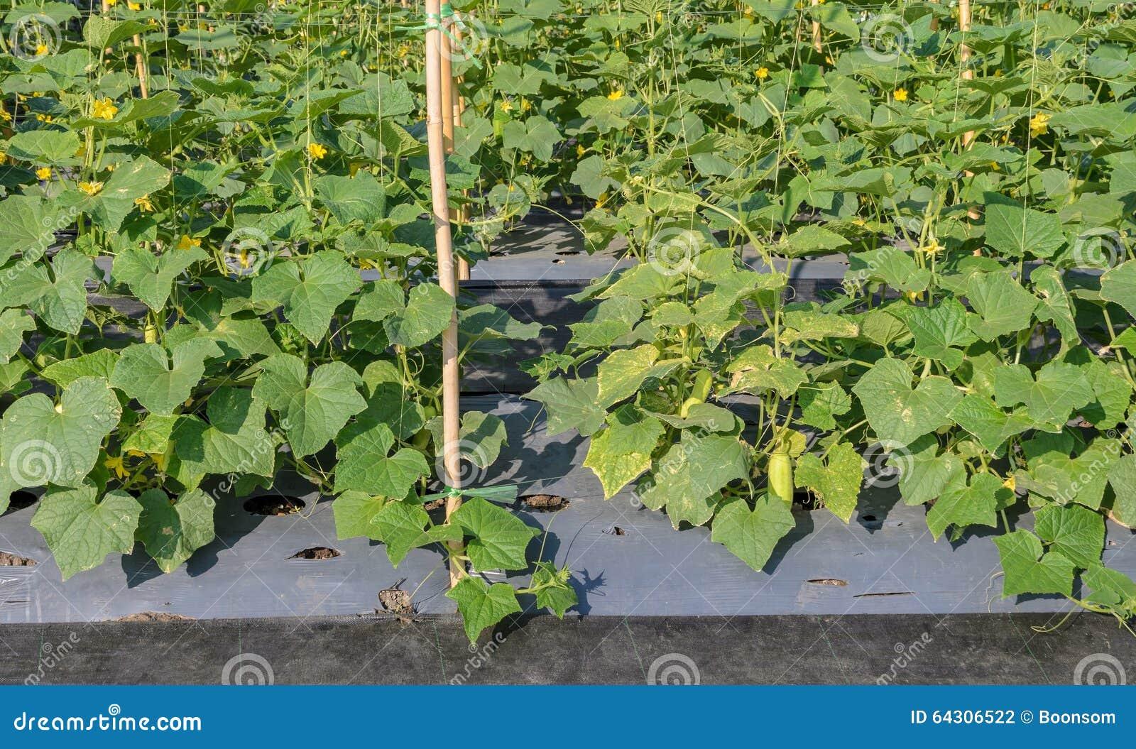 plantation de concombre photo stock image 64306522. Black Bedroom Furniture Sets. Home Design Ideas