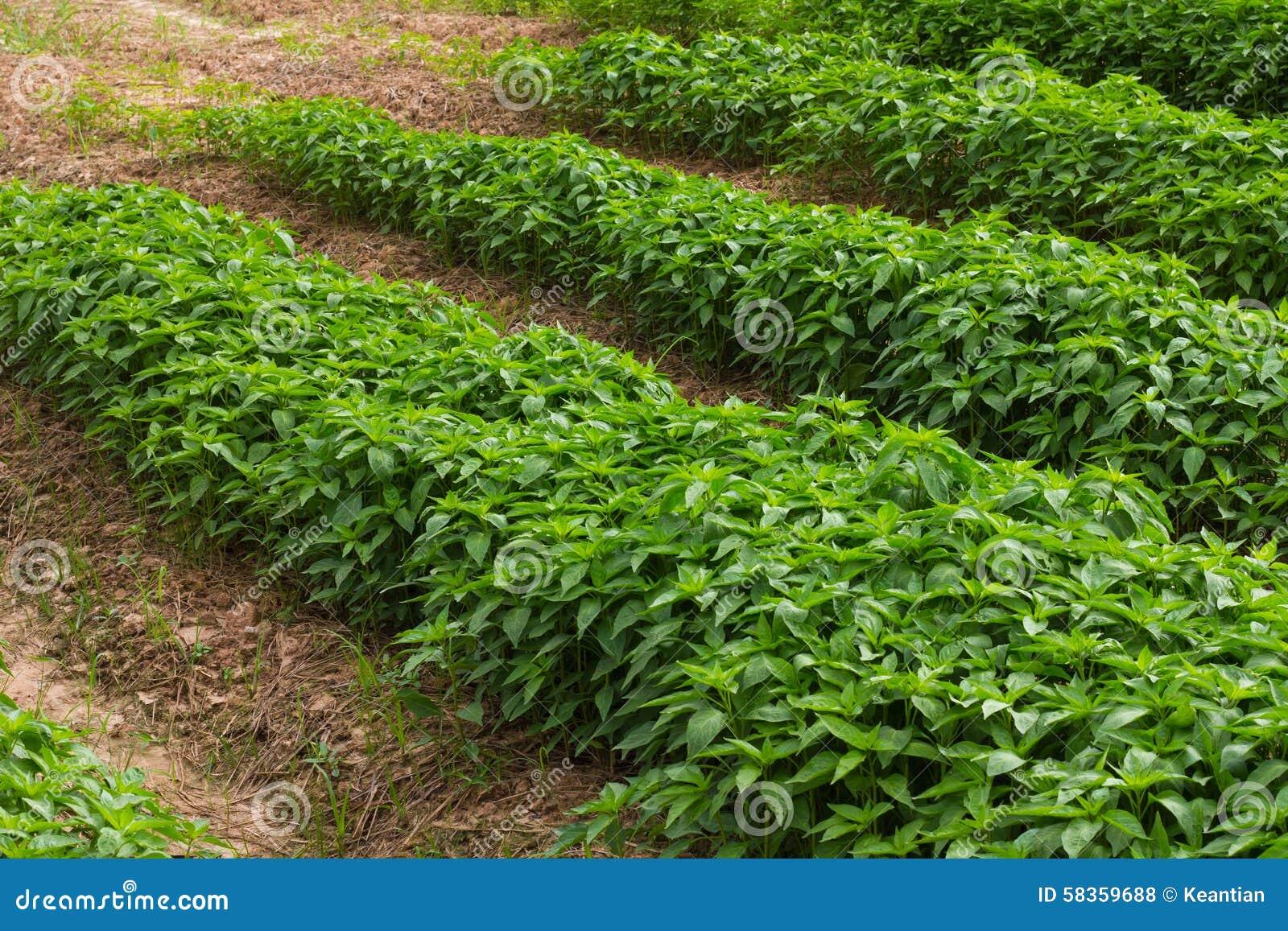 Plantation poivron - Quand planter les poivrons ...