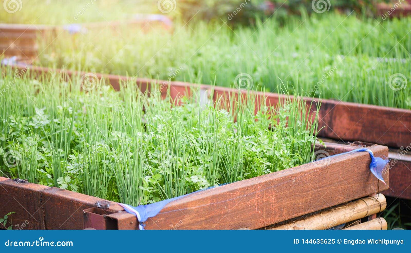 Oignon Blanc A Planter plantation de l'oignon de coriandre et d'oignon blanc ou de