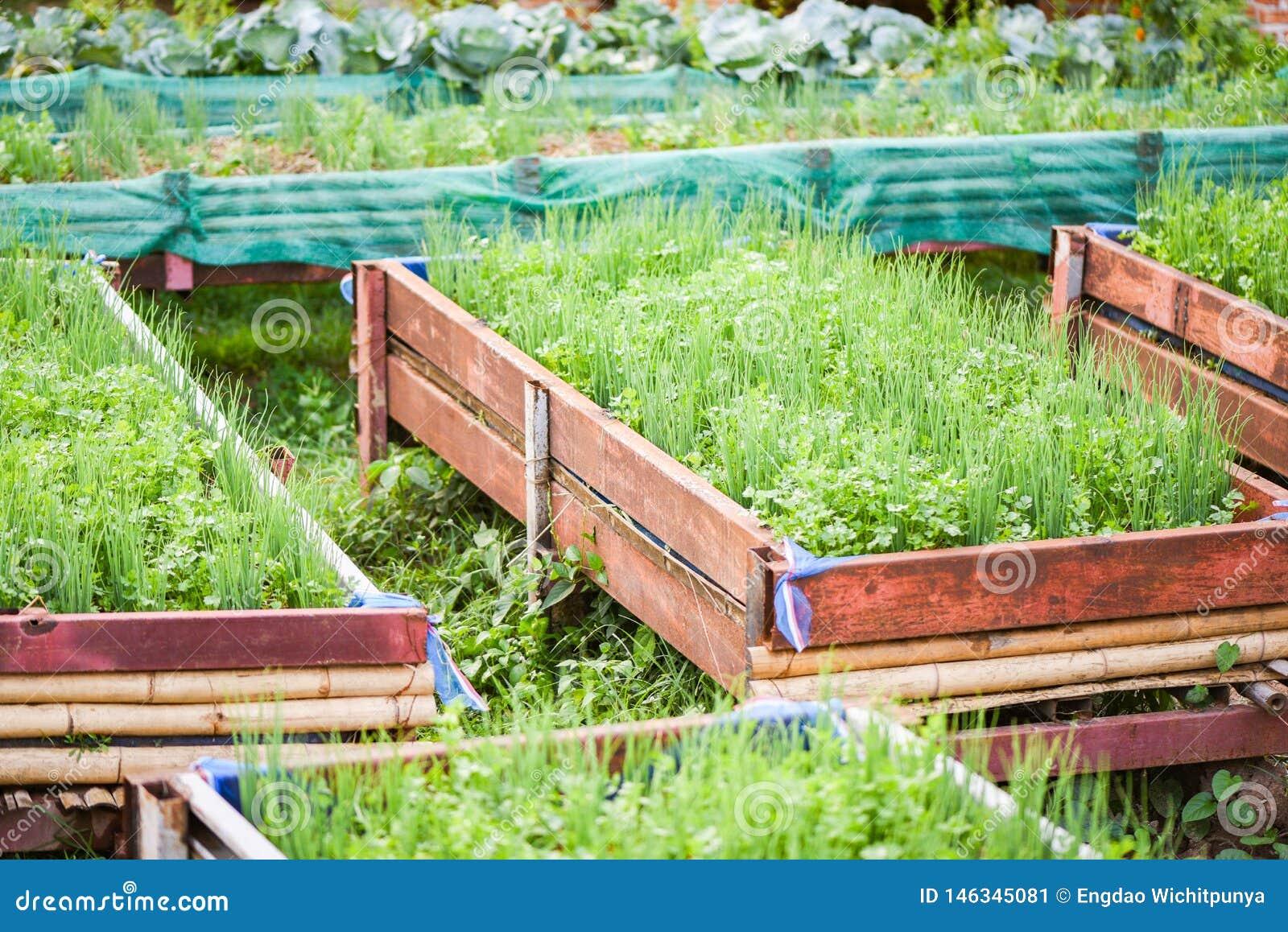 Oignon Blanc A Planter plantation de l'oignon de ressort de coriandre et d'oignon