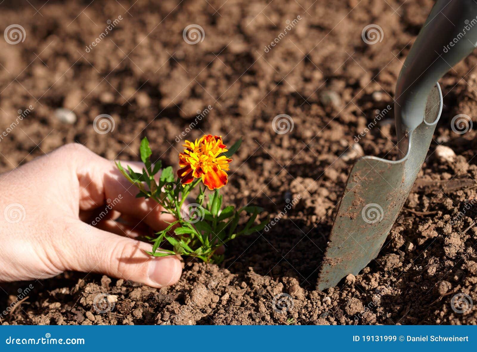 Plantation de la fleur image stock image du jardin for Plantation de fleurs