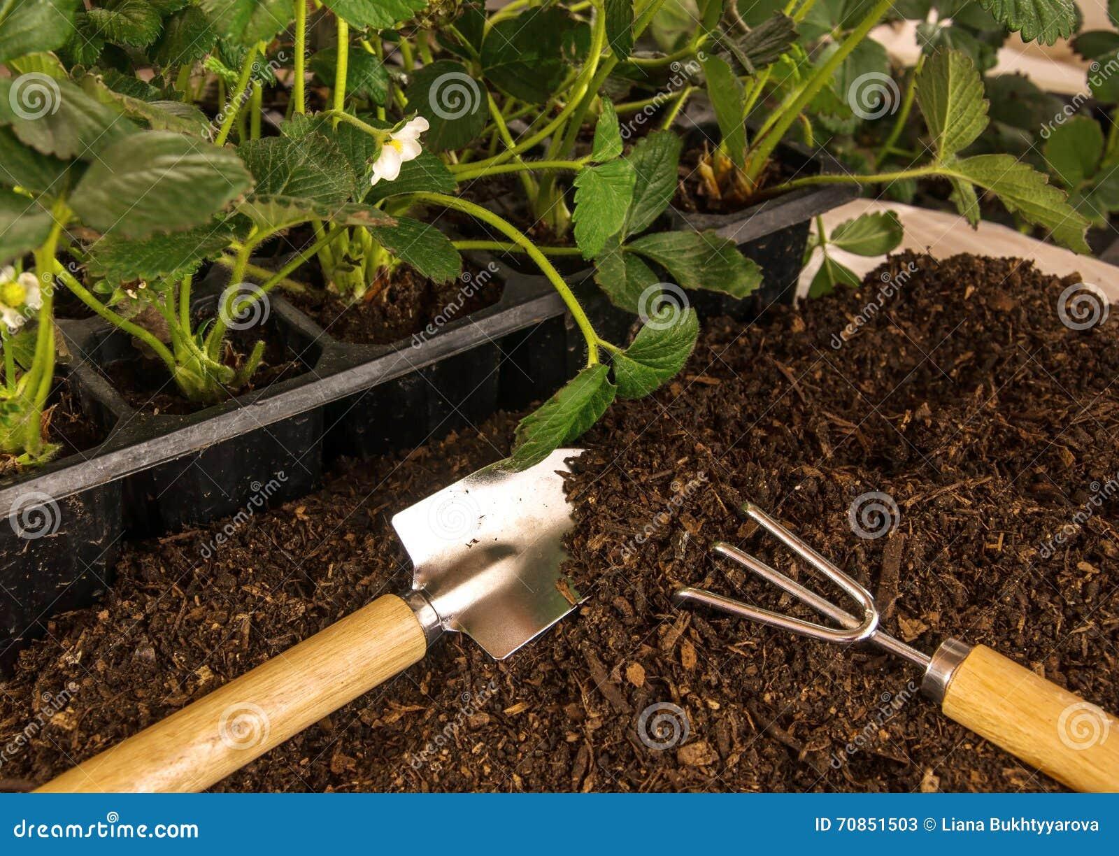 plantation de la fraise buissons des outils de fraise de sol et de jardin image stock image. Black Bedroom Furniture Sets. Home Design Ideas