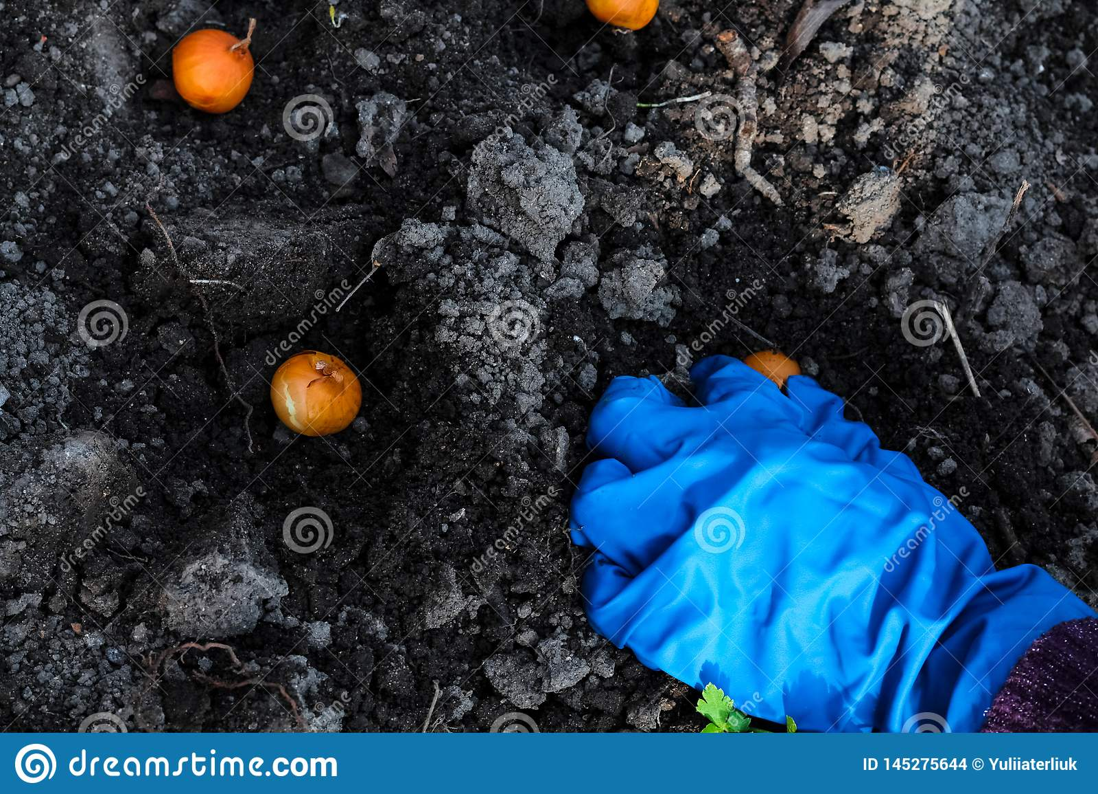 Plantation de mains de femme oignons dans les lits de jardin Temps de jardinage de travail au printemps