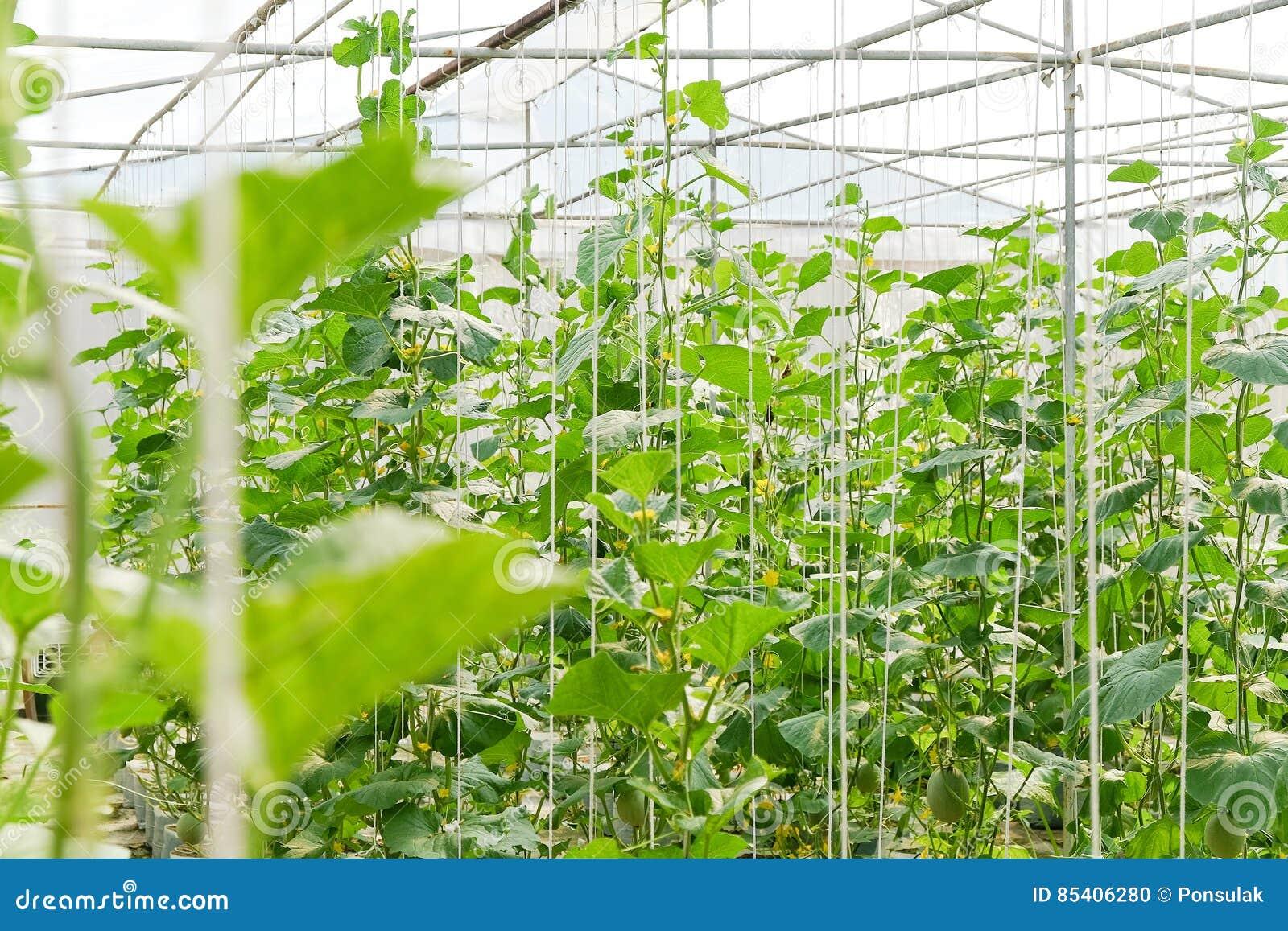 plantation de melon en serre chaude photo stock image 85406280. Black Bedroom Furniture Sets. Home Design Ideas