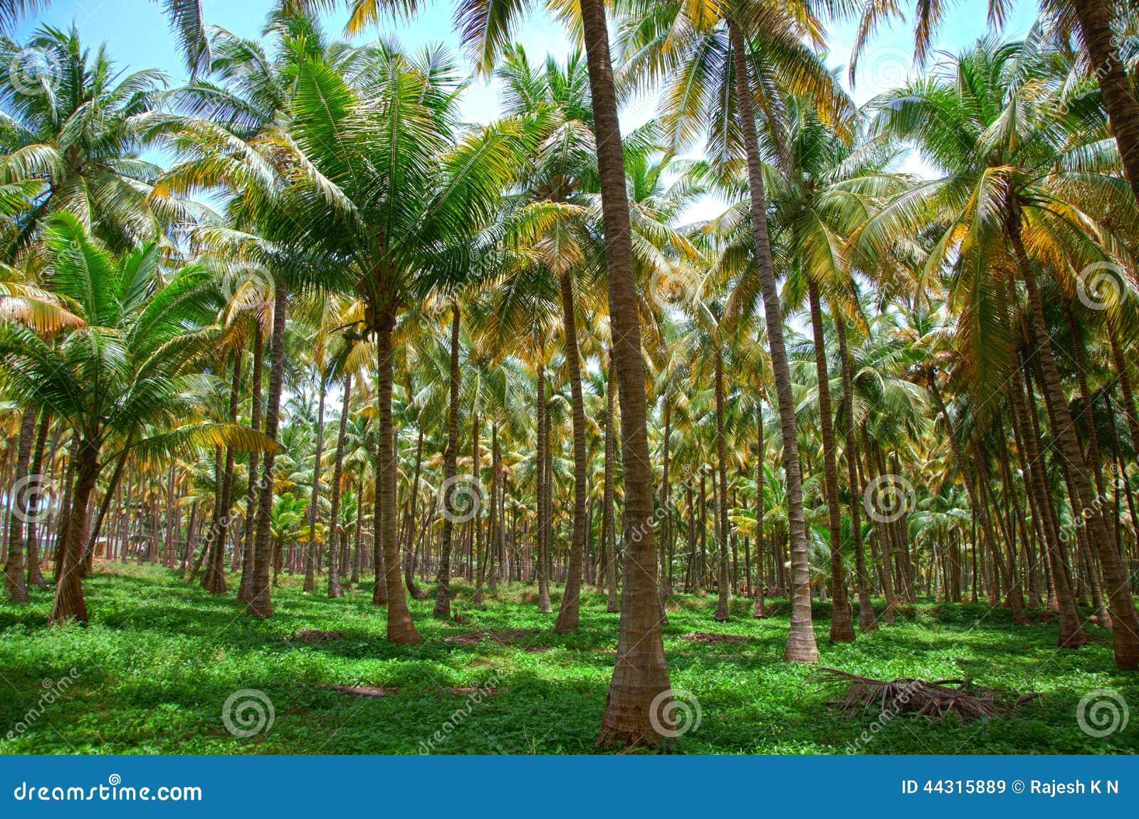 Plantation de palmiers de noix de coco photo stock image - Palmier noix de coco ...