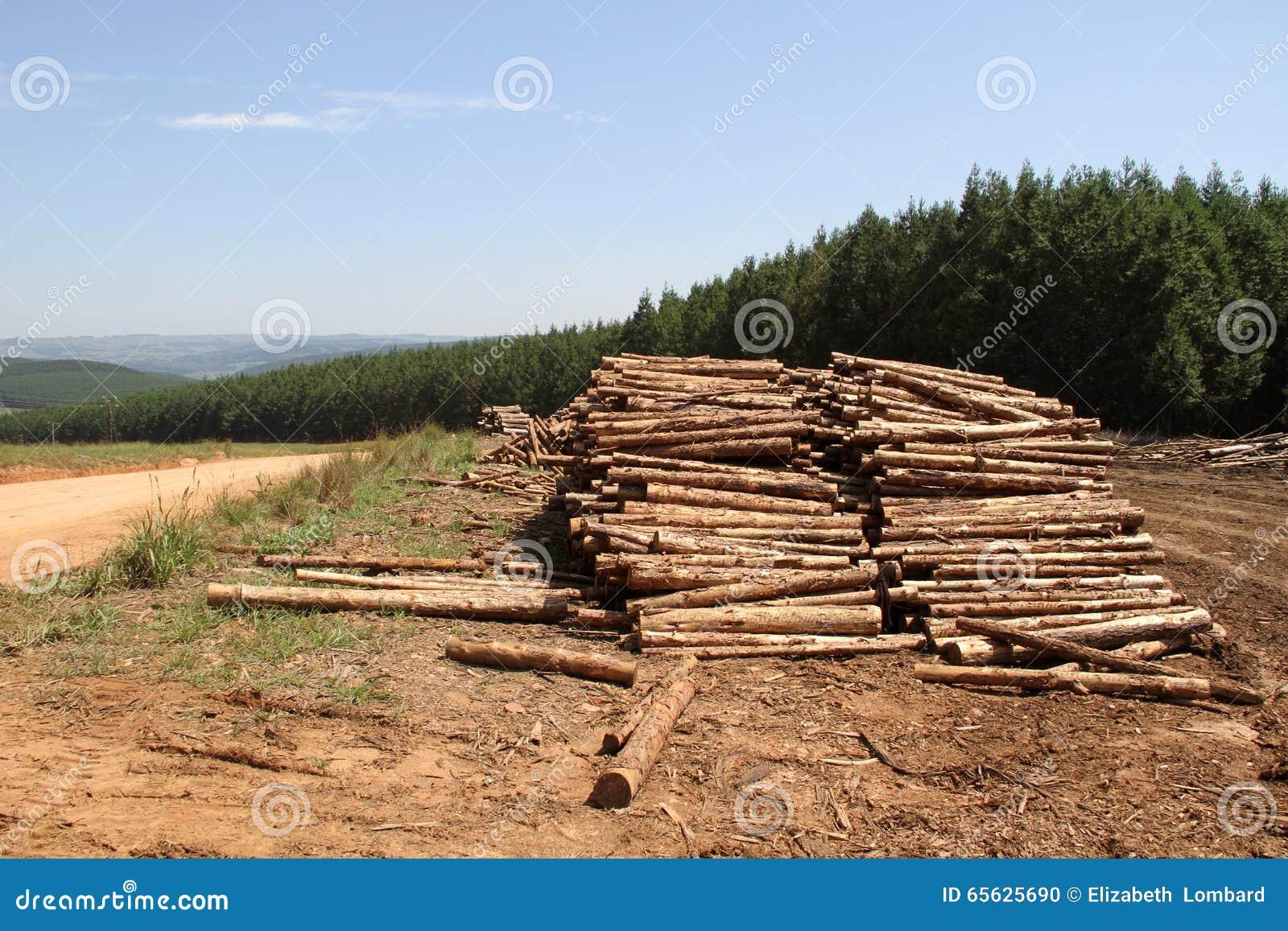 Plantation de pin