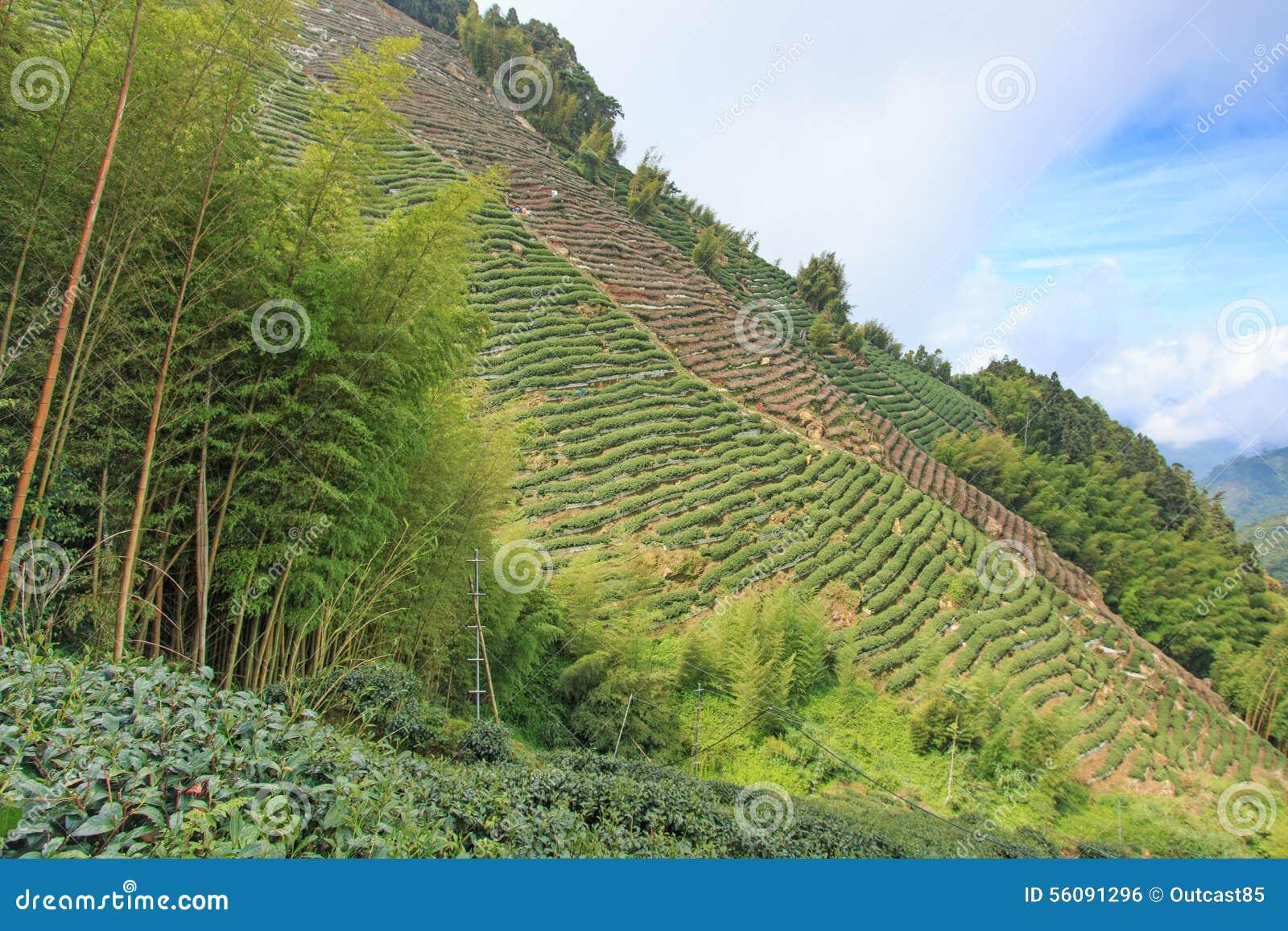 Plantation de thé d Oolong à Taïwan