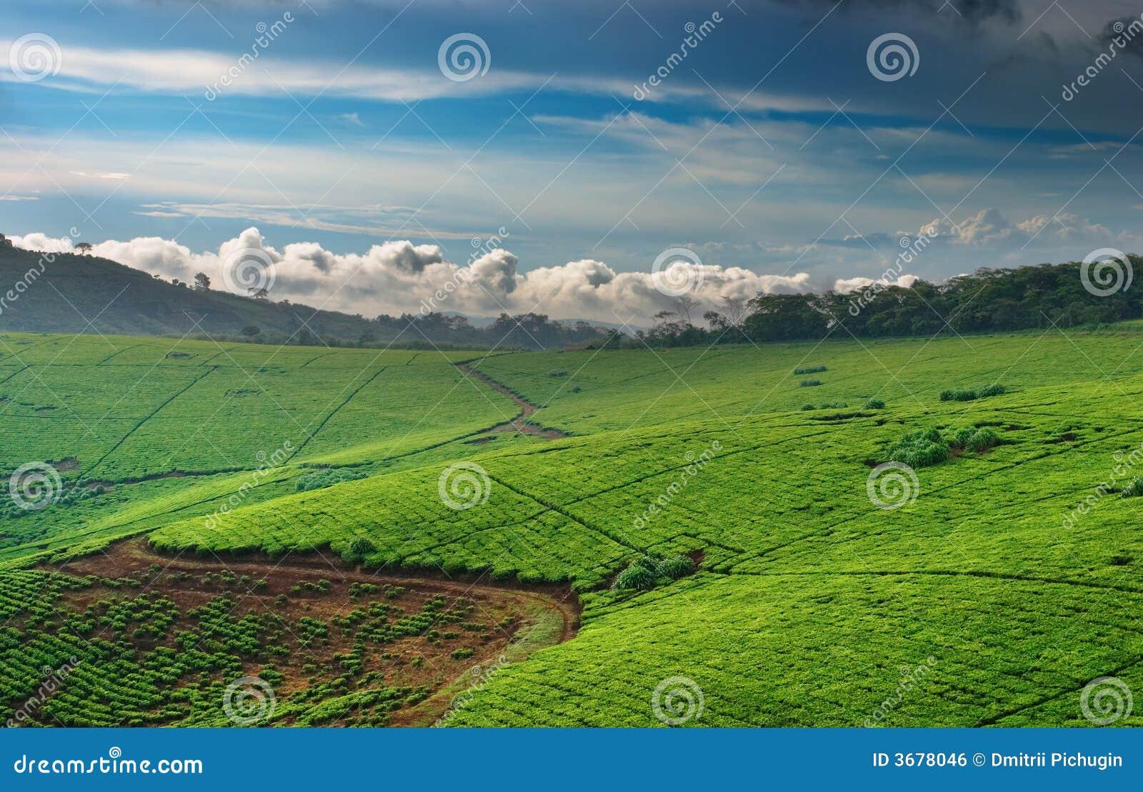 Plantation de thé en Ouganda