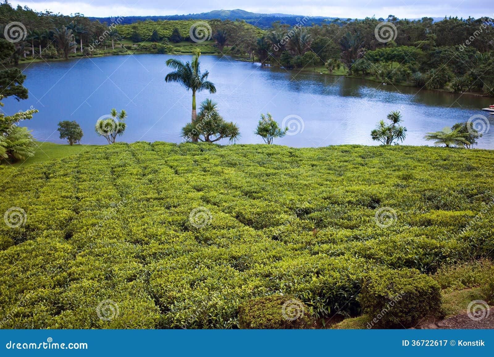 Plantation De Thé (Bois Cheri) Dans Les Collines. Ile ...
