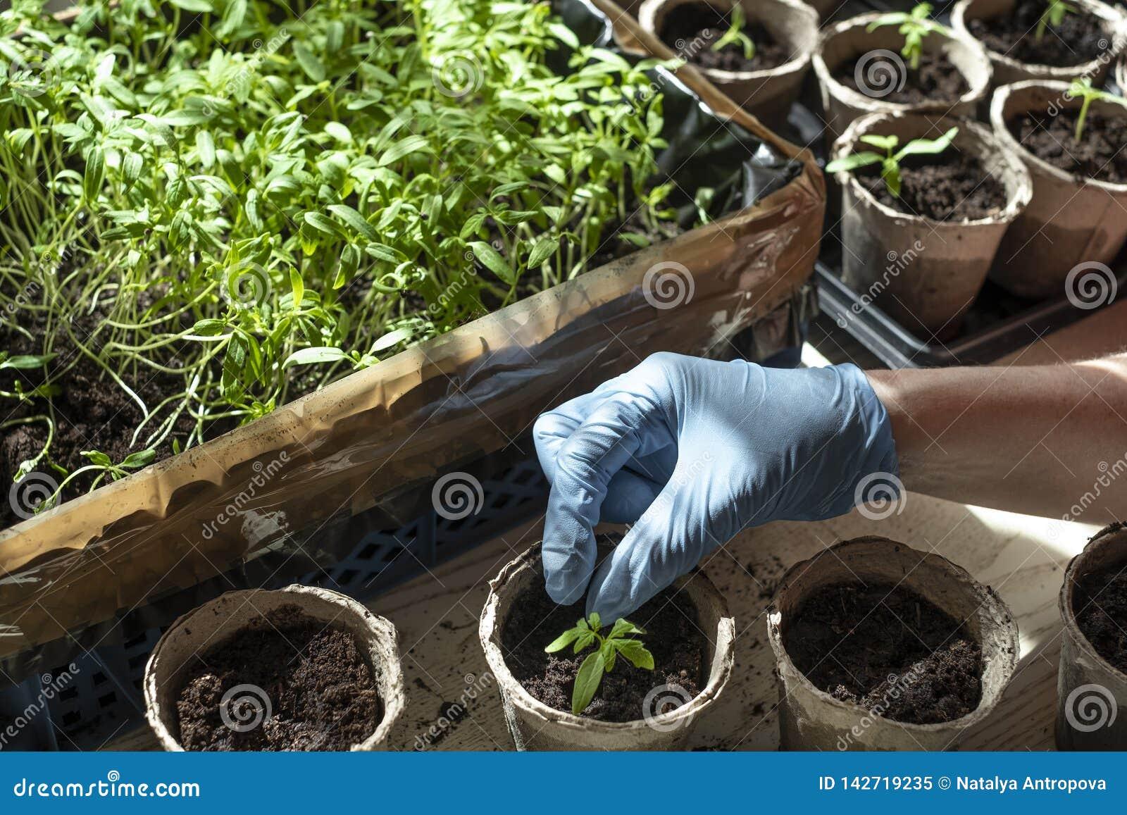 Plantation des jeunes plantes de tomate, de la boîte avec des jeunes plantes, de la tasse de tourbe et de la main plantant l usin