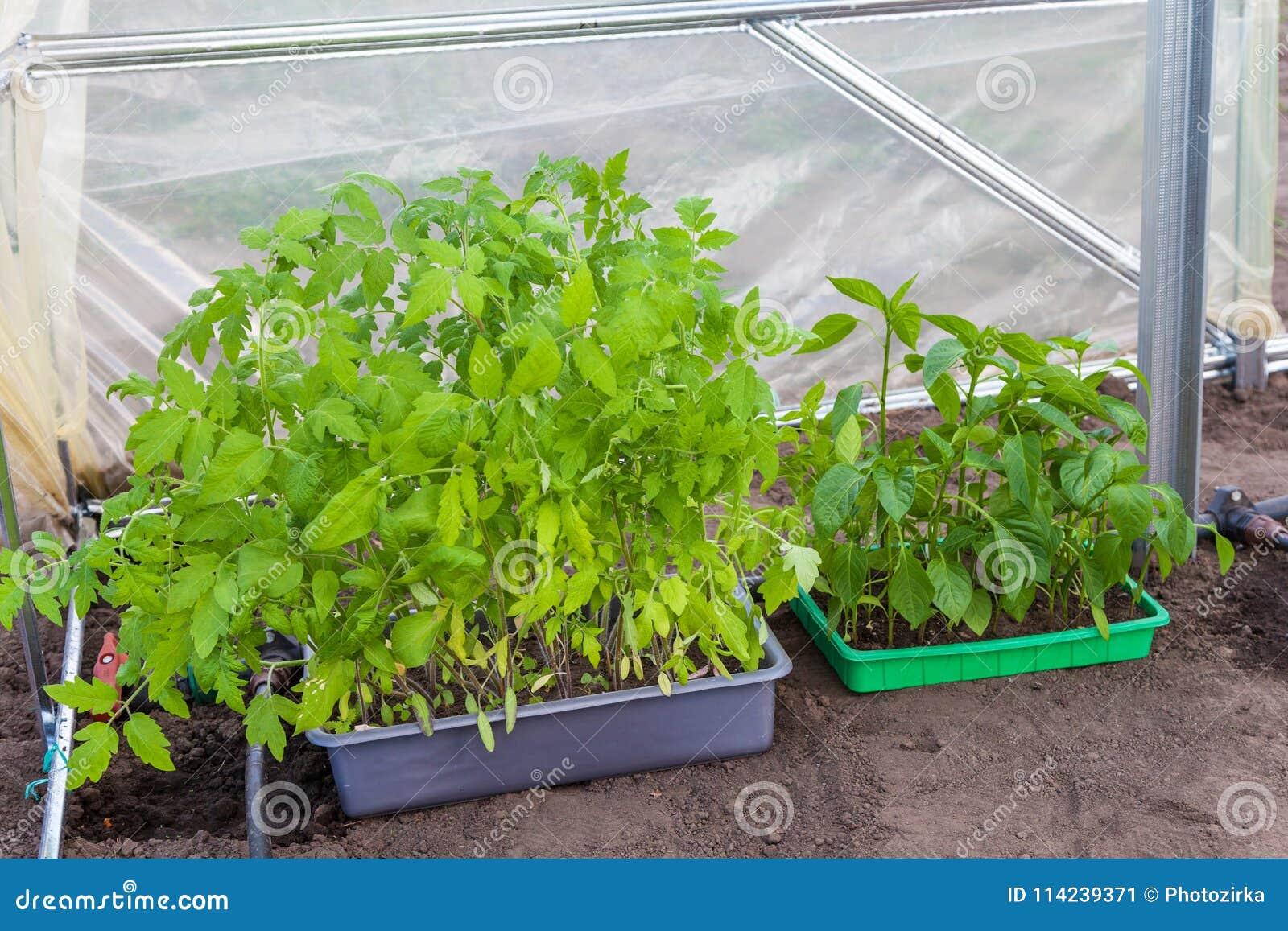 Plantation des jeunes plantes des tomates et du poivre en serre chaude