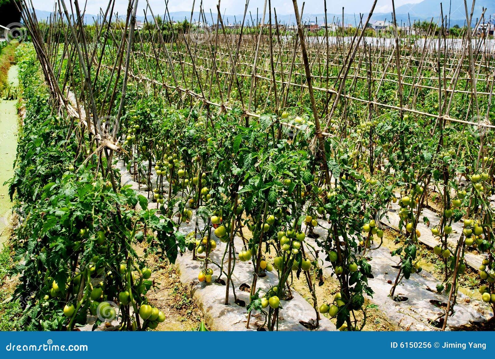 Plantation des tomates image libre de droits image 6150256 - Plantation de tomates ...