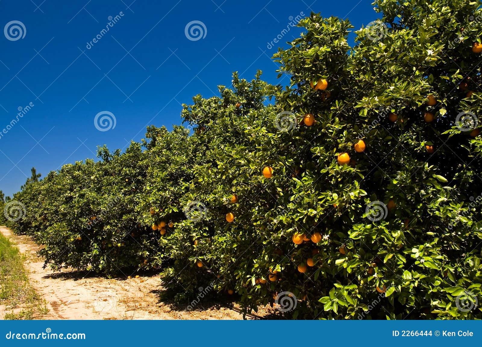 Plantation ensoleillée d orange de la Floride
