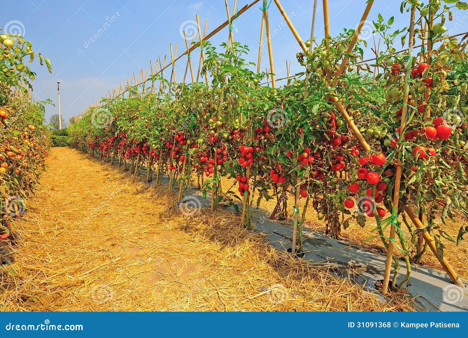 plantation with fresh tomato stock photo image of leaf grow 31091368. Black Bedroom Furniture Sets. Home Design Ideas
