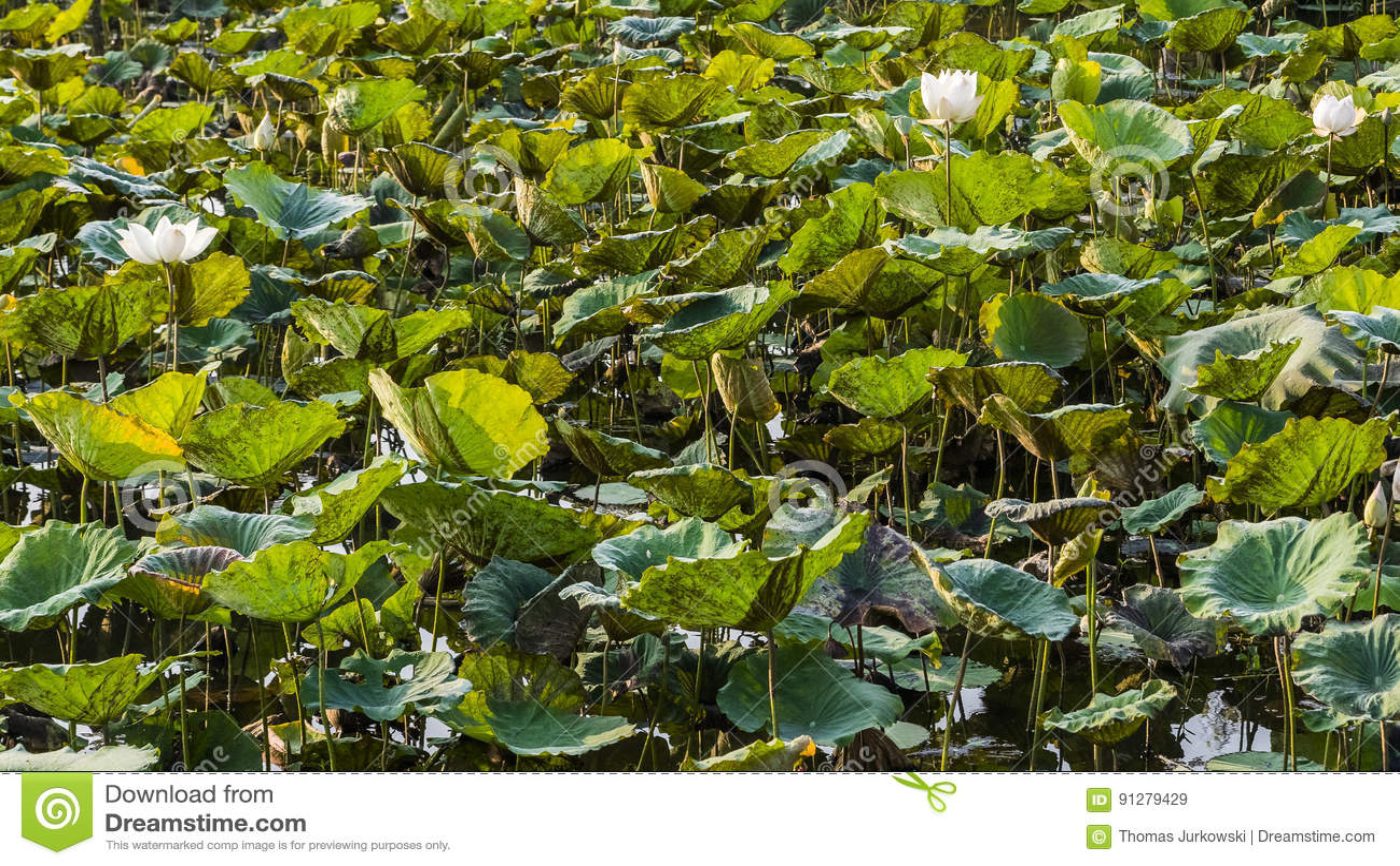 Plantation Of Lotus Flowers Stock Image Image Of Farm Fields