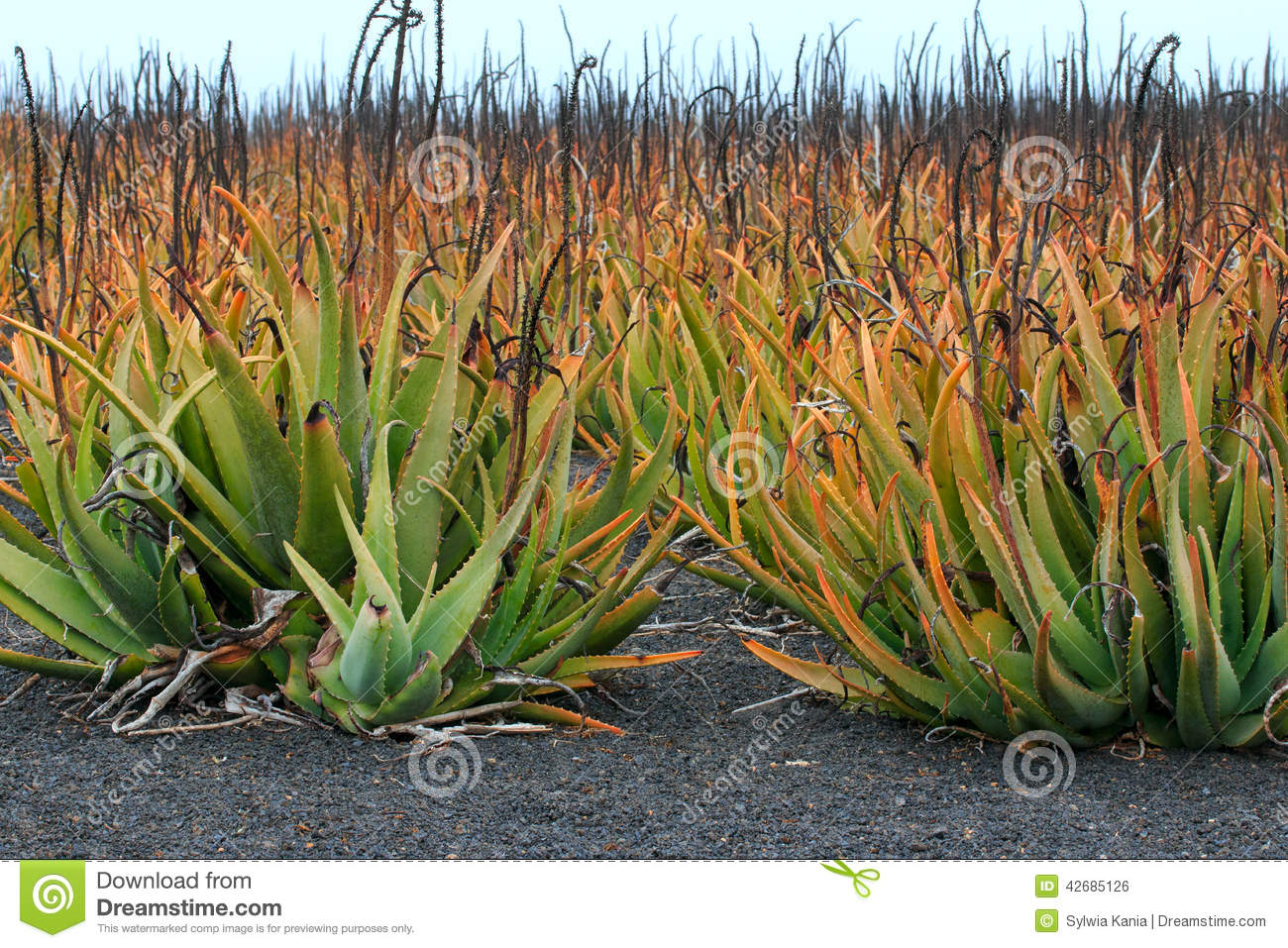 plantation of medicinal aloe vera plant in the canary islands stock photo image of holiday. Black Bedroom Furniture Sets. Home Design Ideas