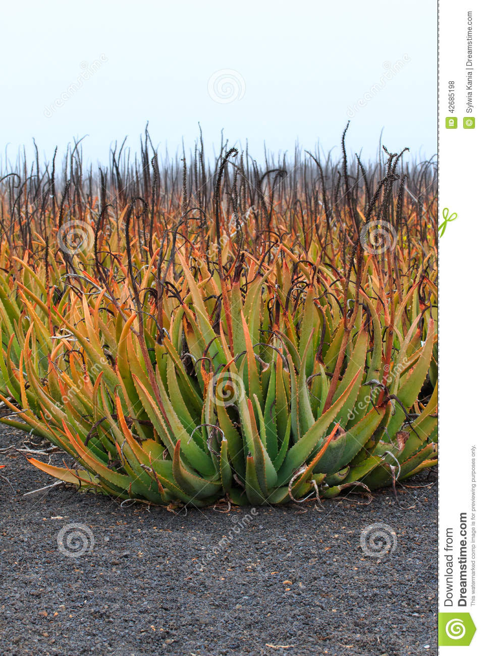 plantation of medicinal aloe vera plant in the canary islands stock photo image 42685198. Black Bedroom Furniture Sets. Home Design Ideas