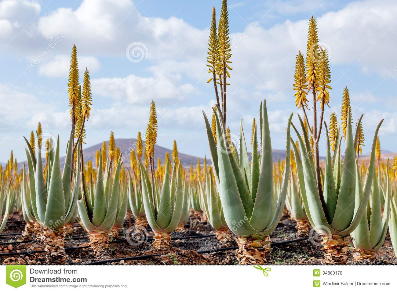 Plantation Of Medicinal Aloe Vera Plant With Flowers
